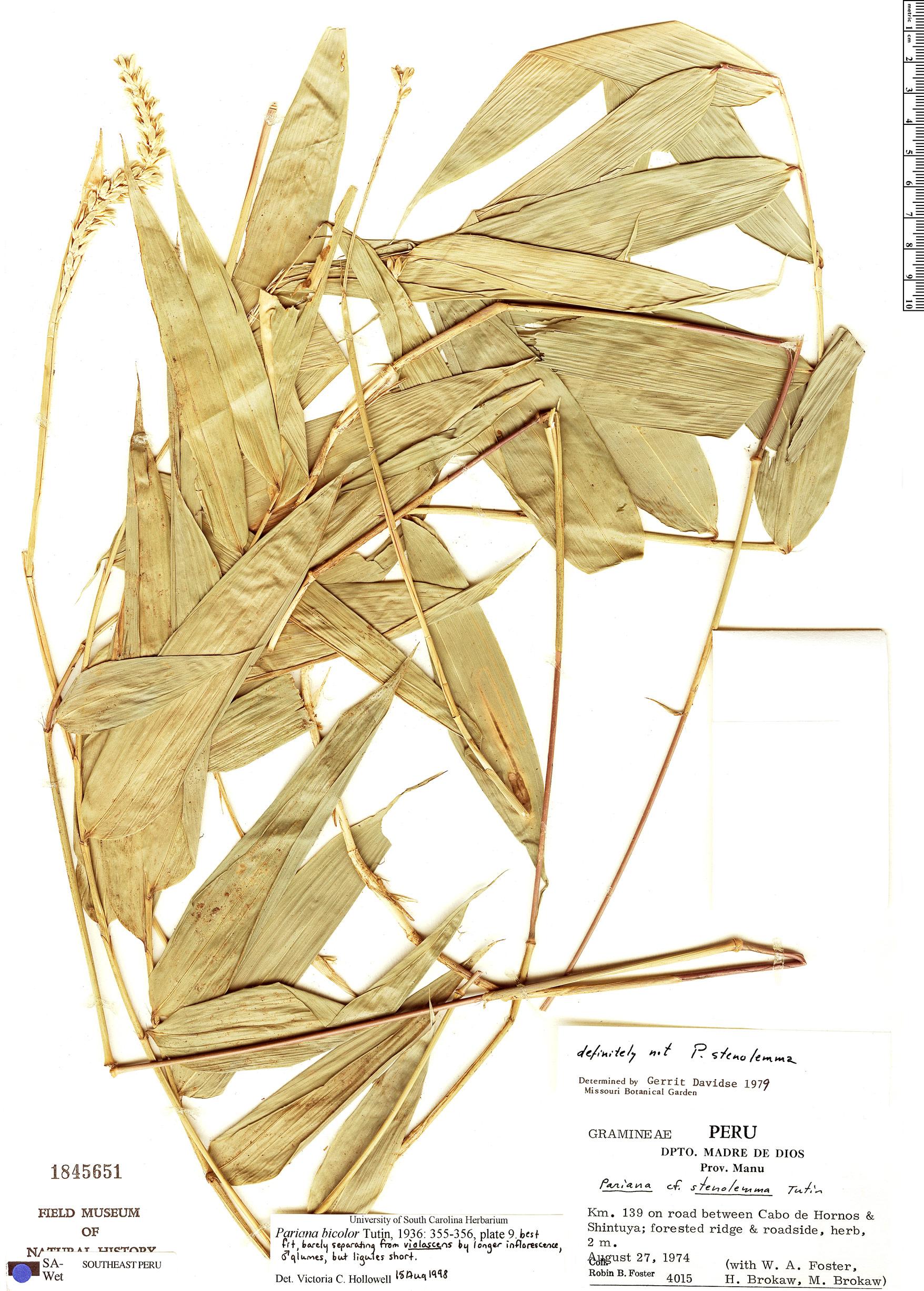 Specimen: Pariana bicolor