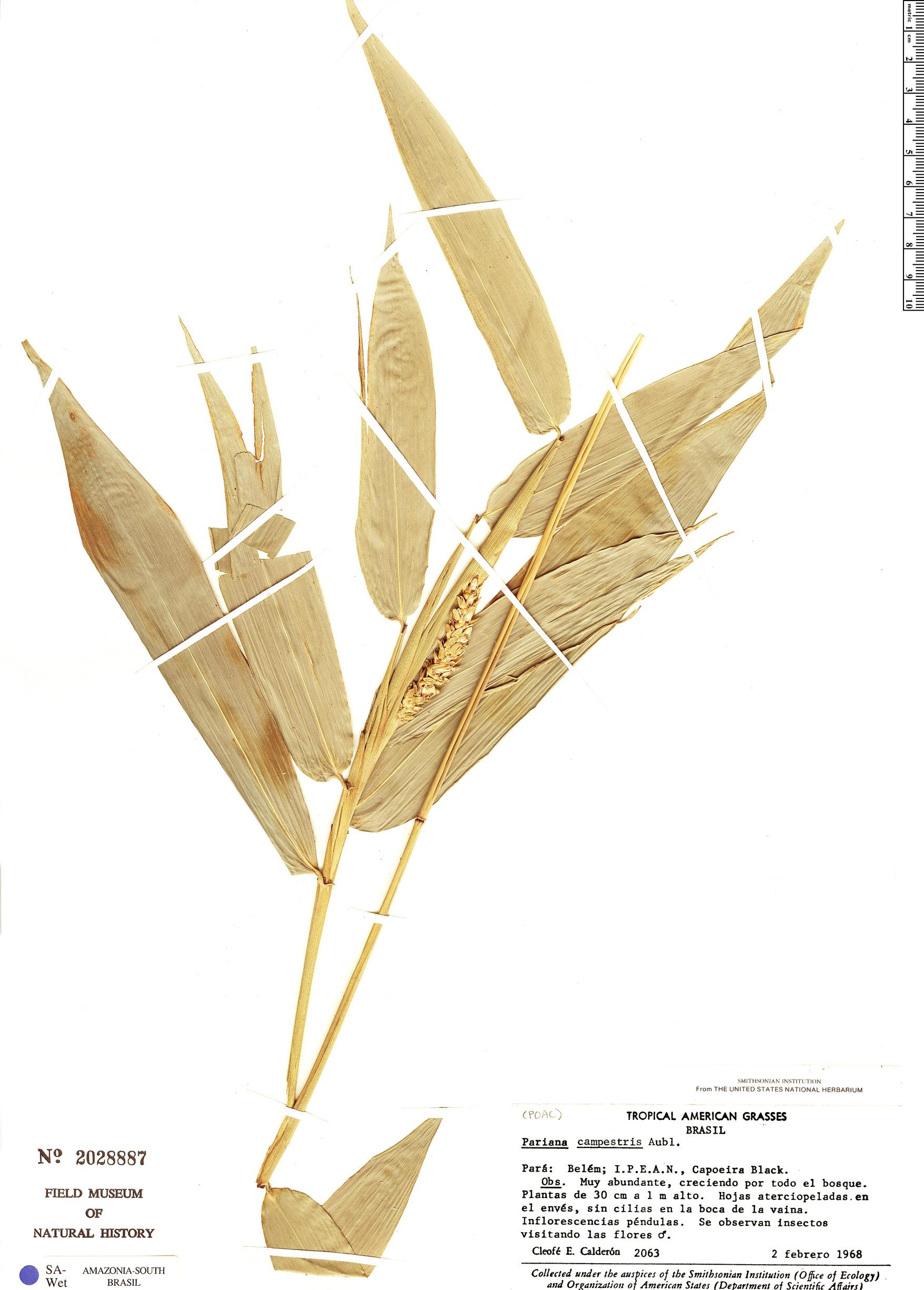 Specimen: Pariana lunata