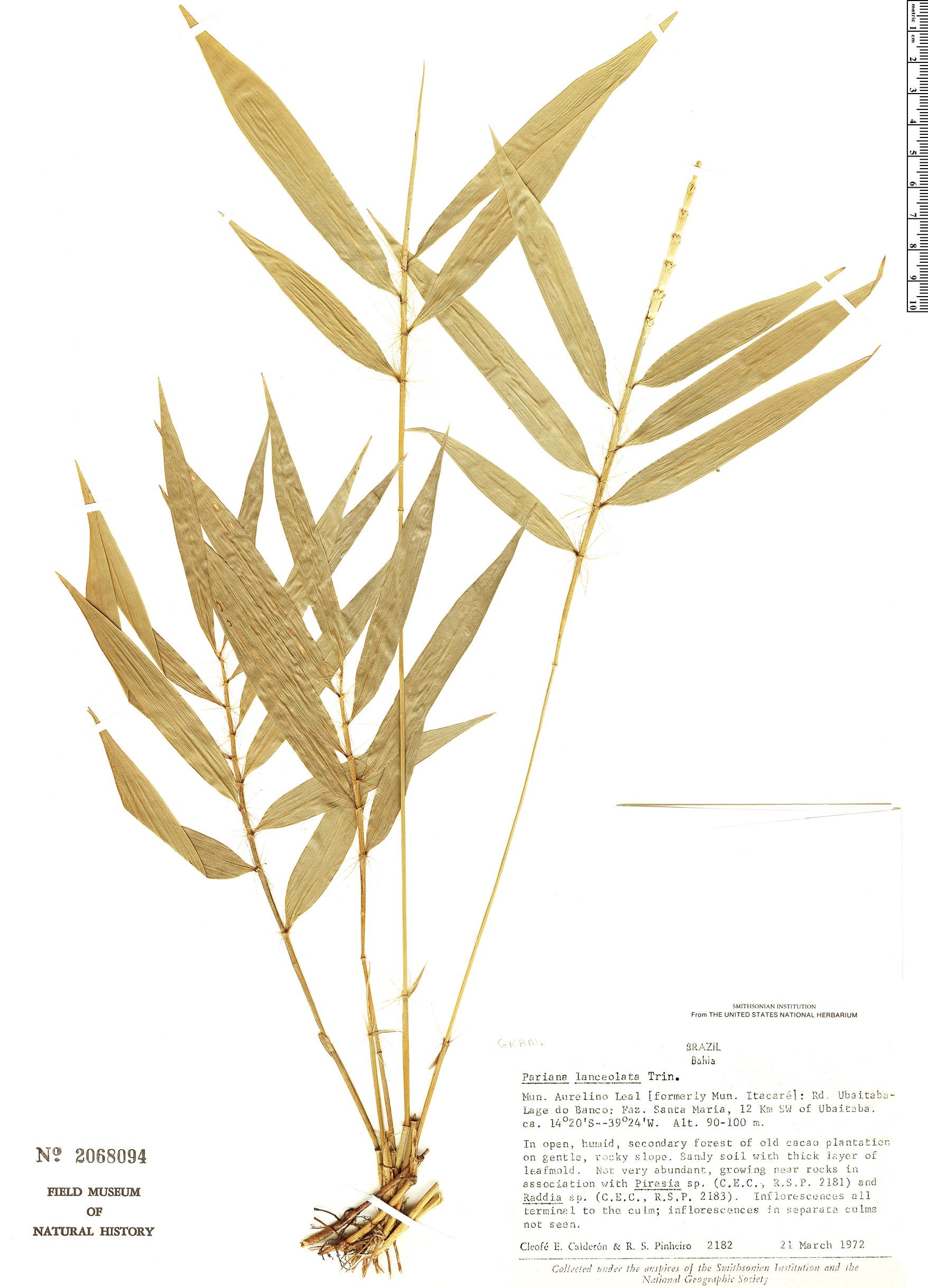 Specimen: Pariana lanceolata