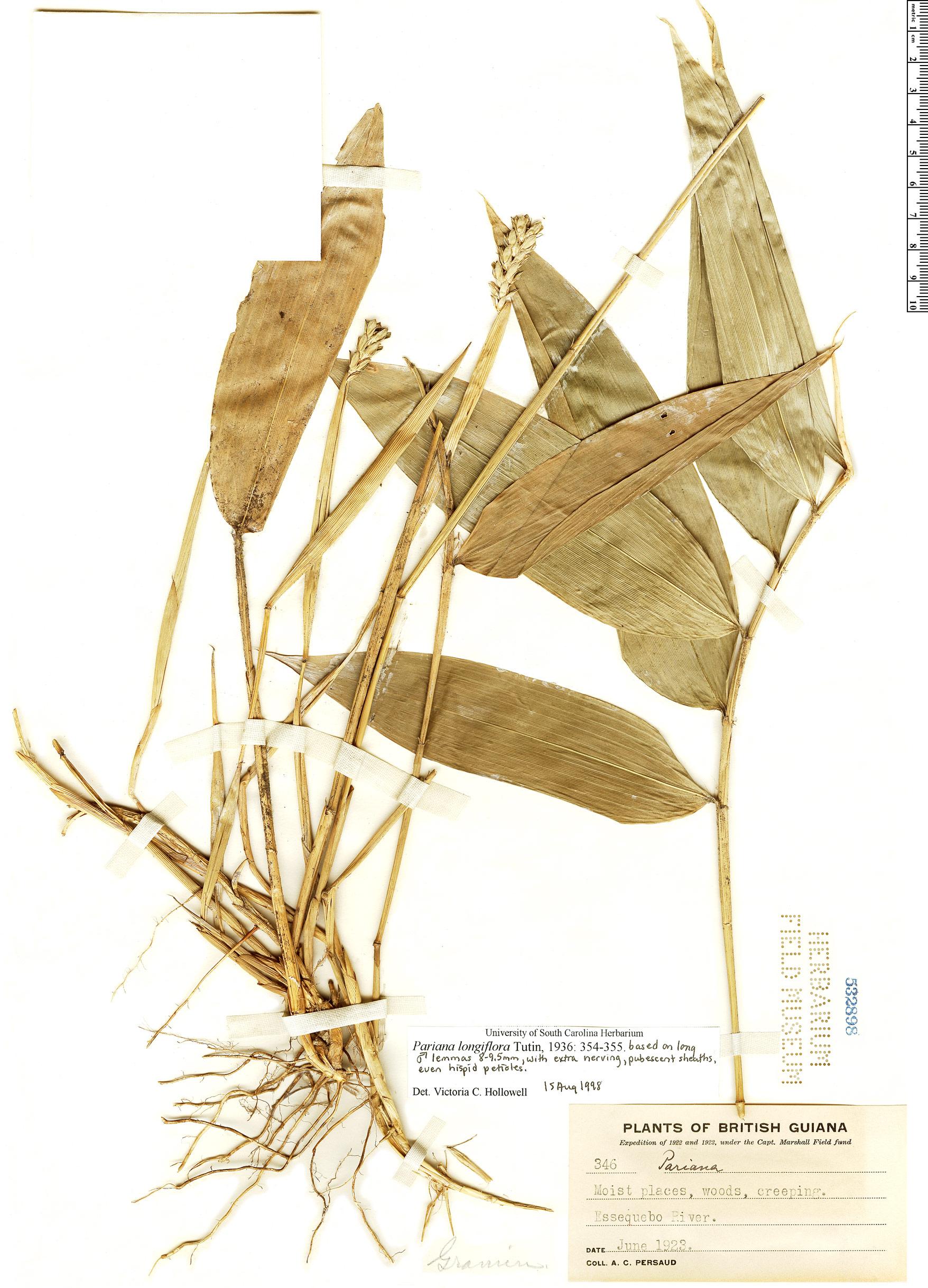 Specimen: Pariana longiflora