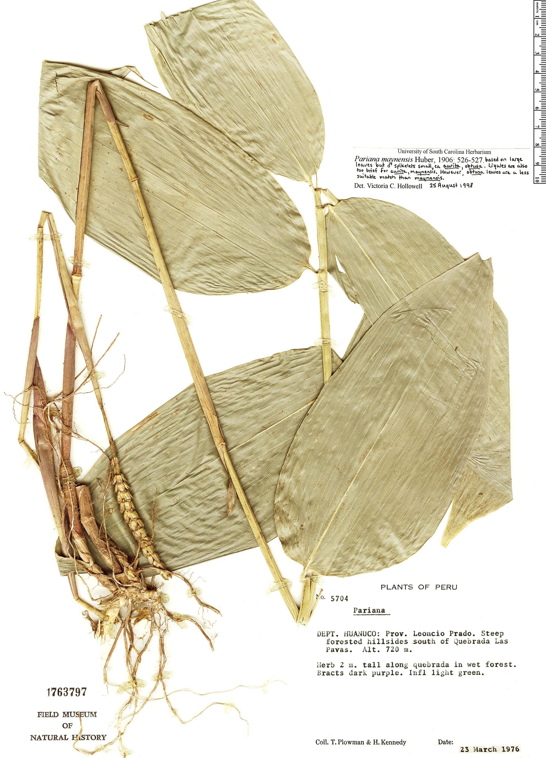 Specimen: Pariana maynensis