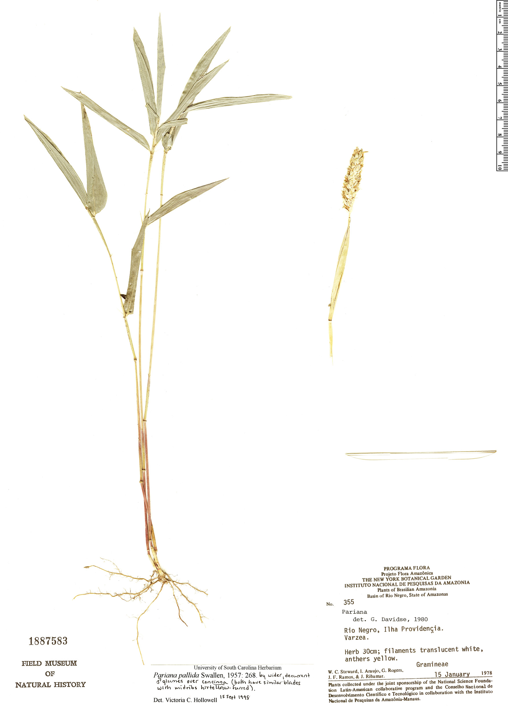 Specimen: Pariana pallida