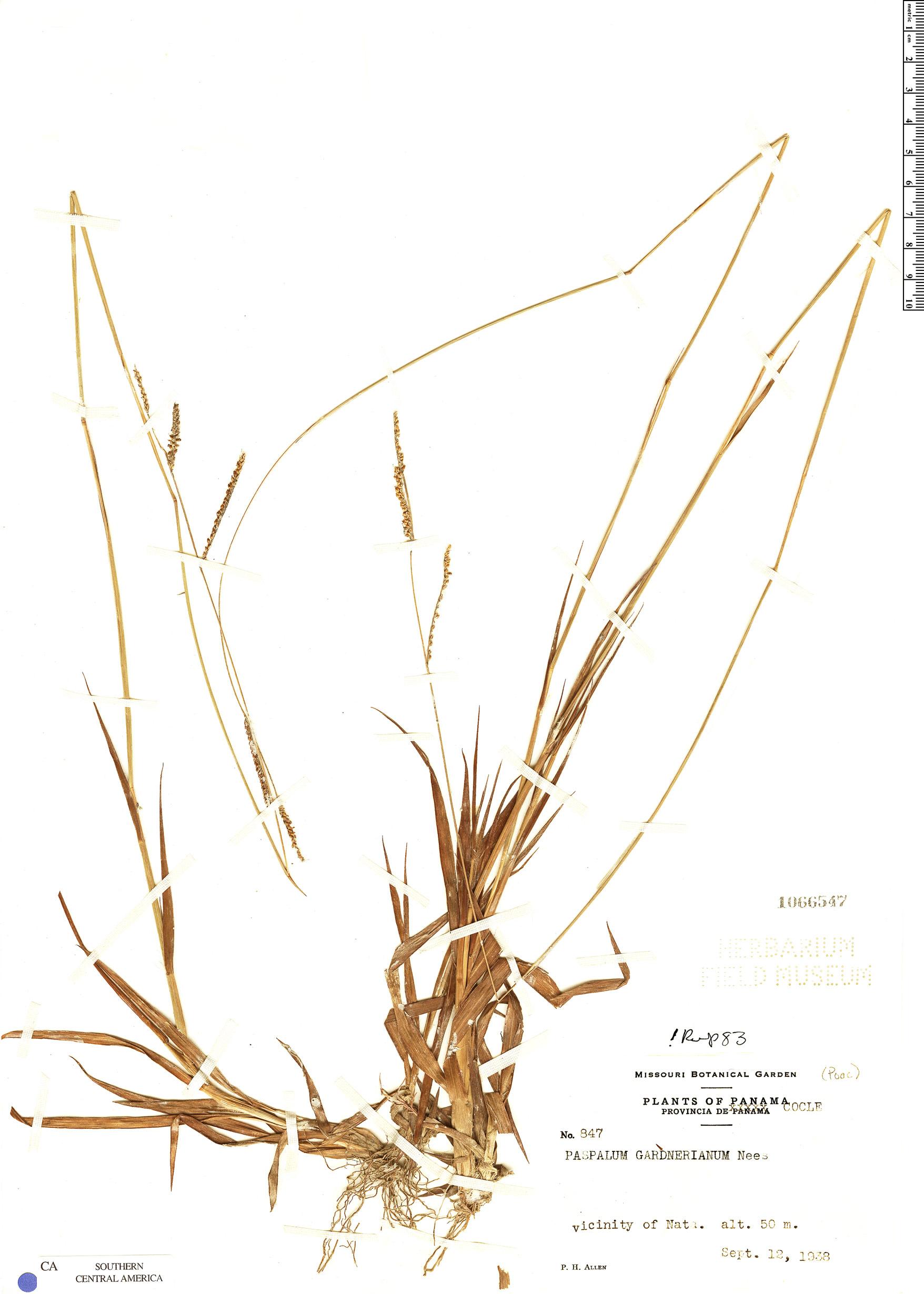 Specimen: Paspalum gardnerianum