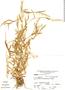 Paspalum penicillatum image