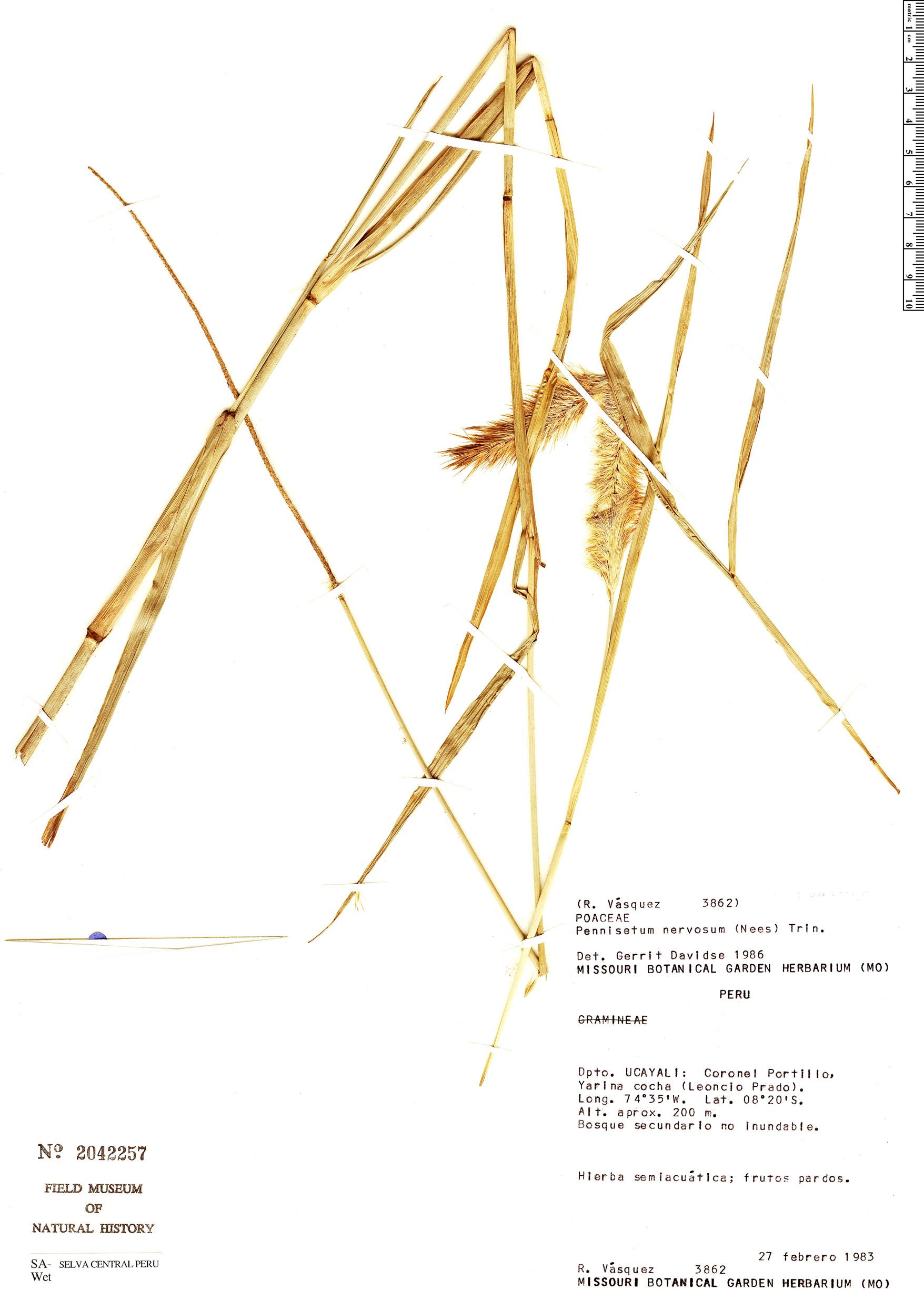 Specimen: Cenchrus nervosus