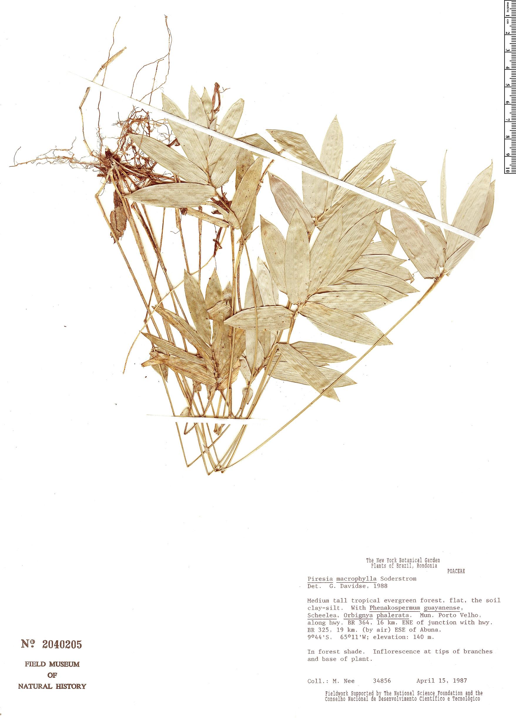 Specimen: Piresia macrophylla