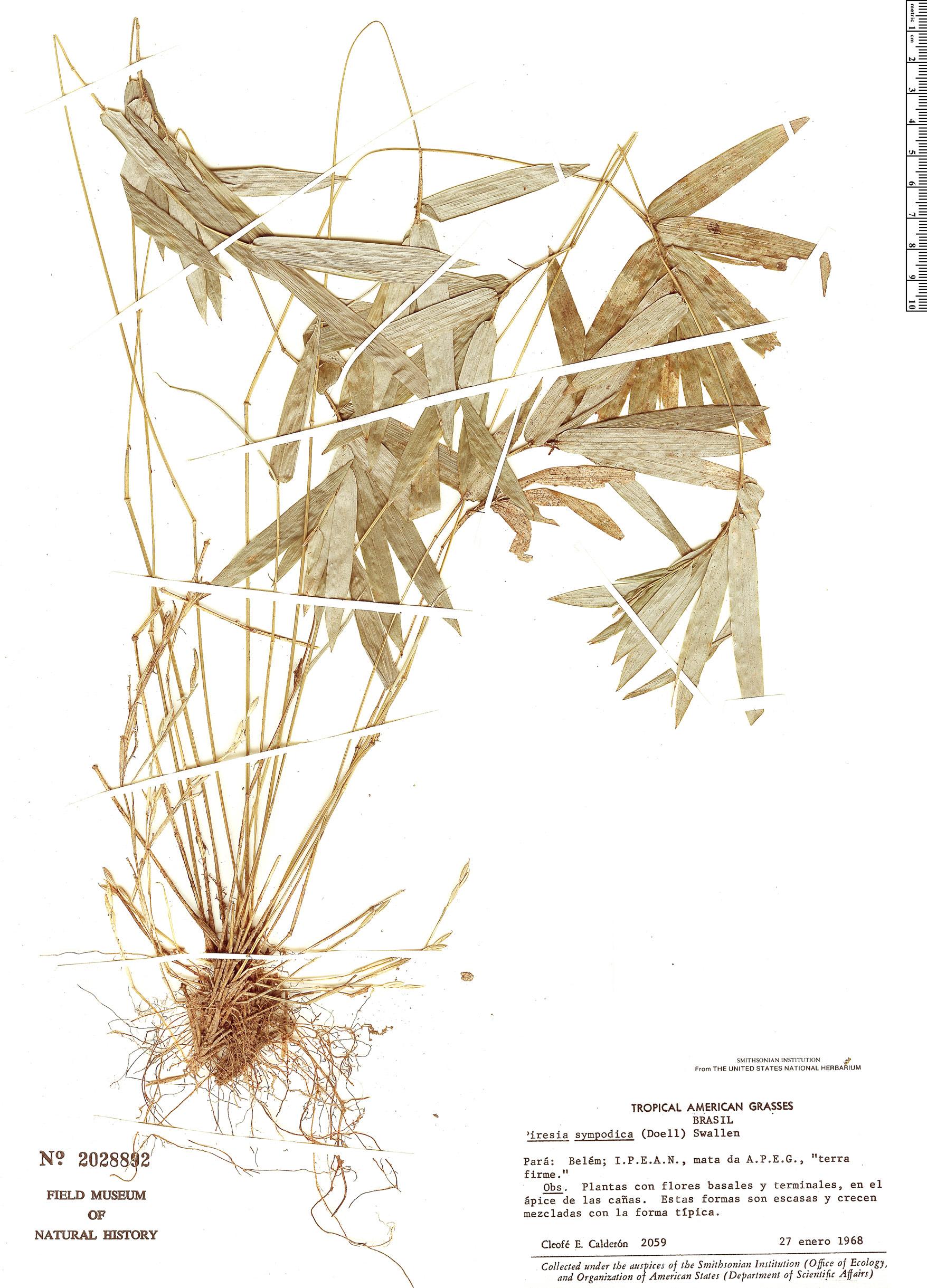 Specimen: Piresia sympodica