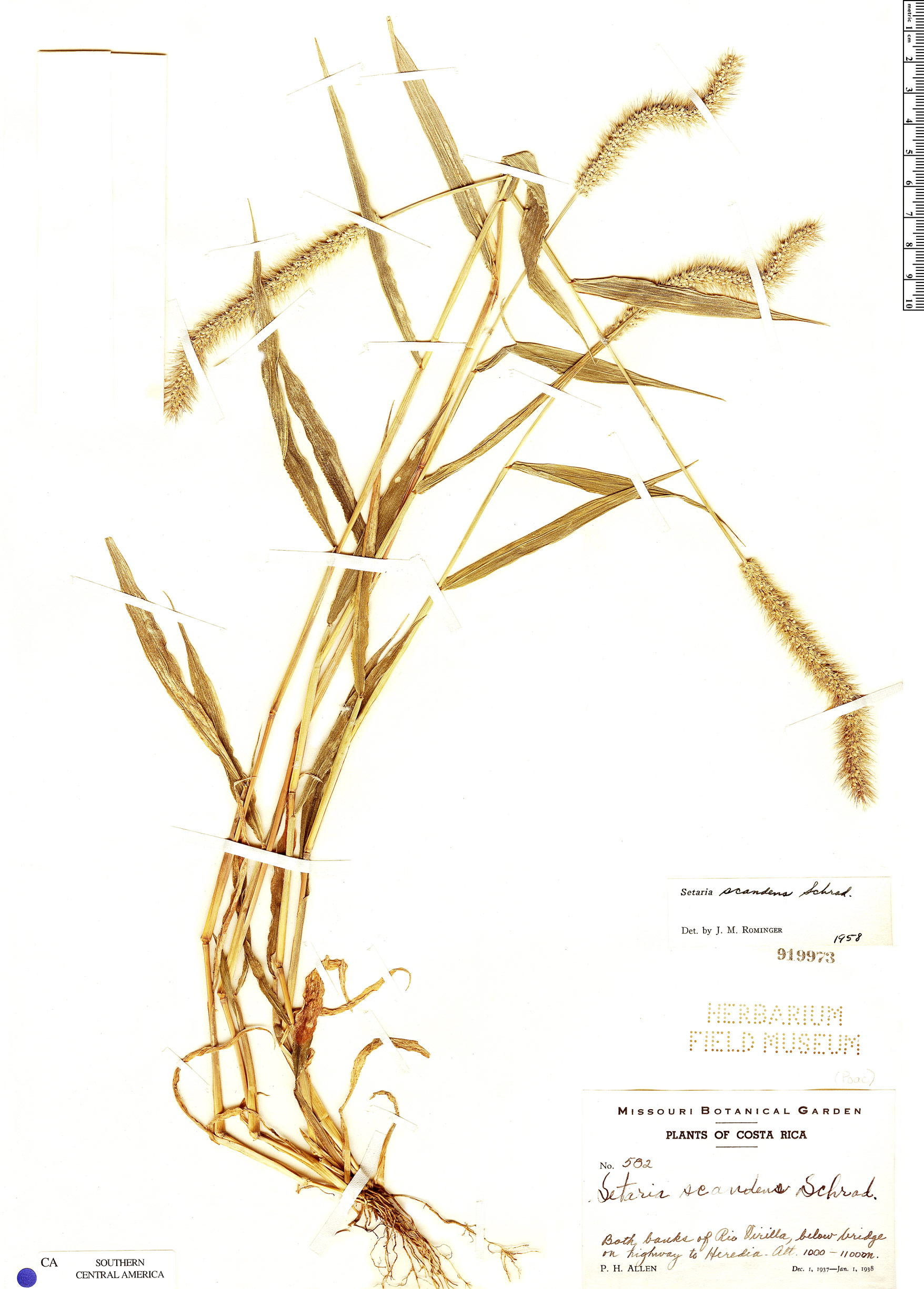 Specimen: Setaria scandens