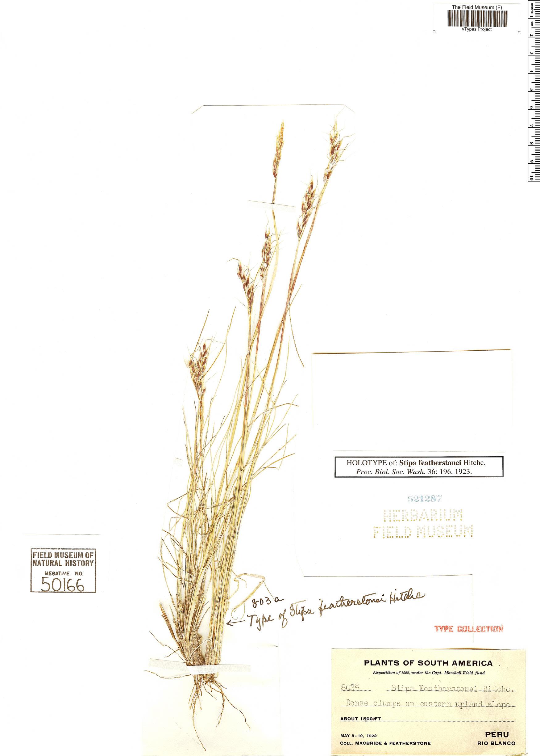 Espécimen: Piptochaetium featherstonei