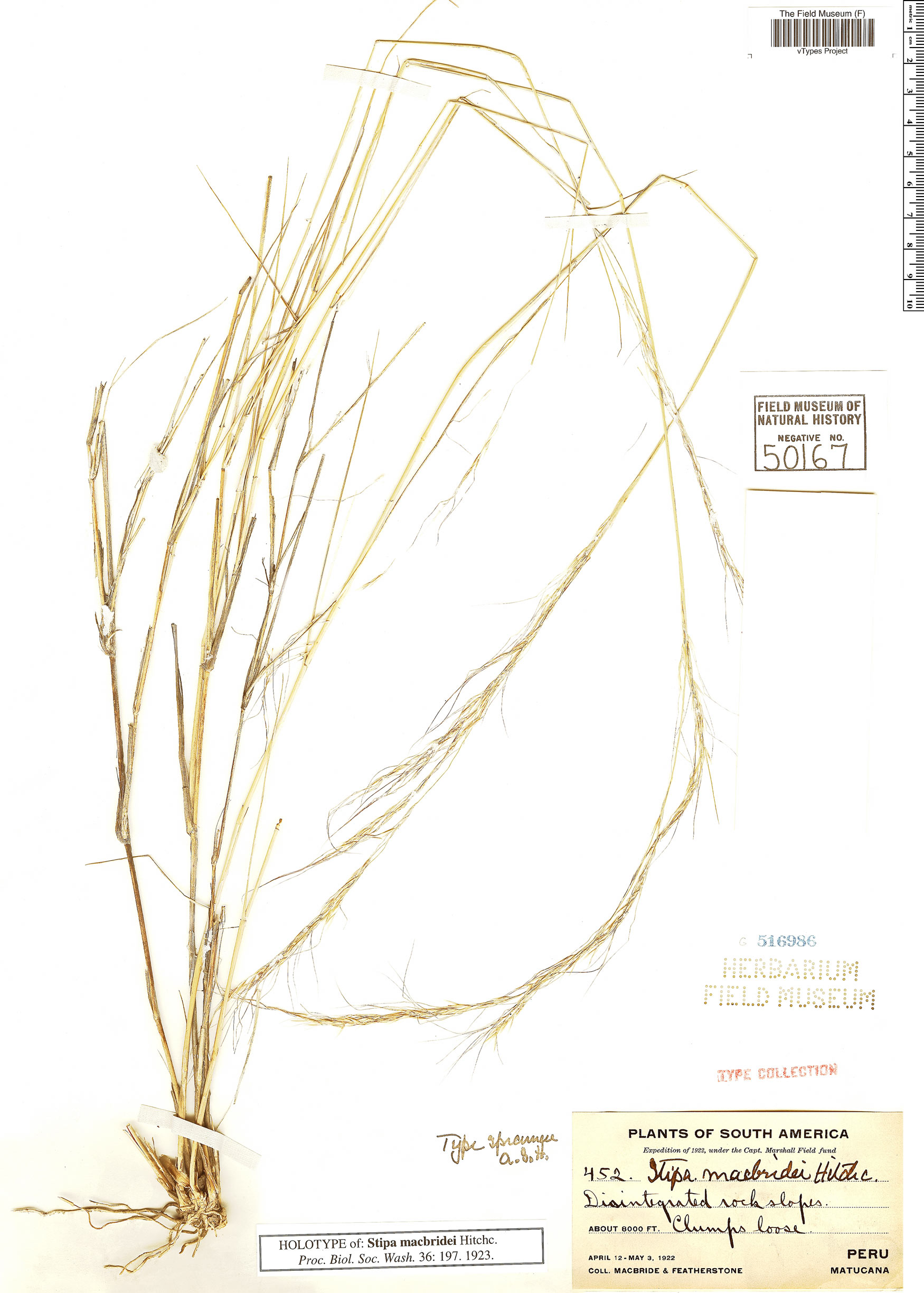 Specimen: Jarava macbridei