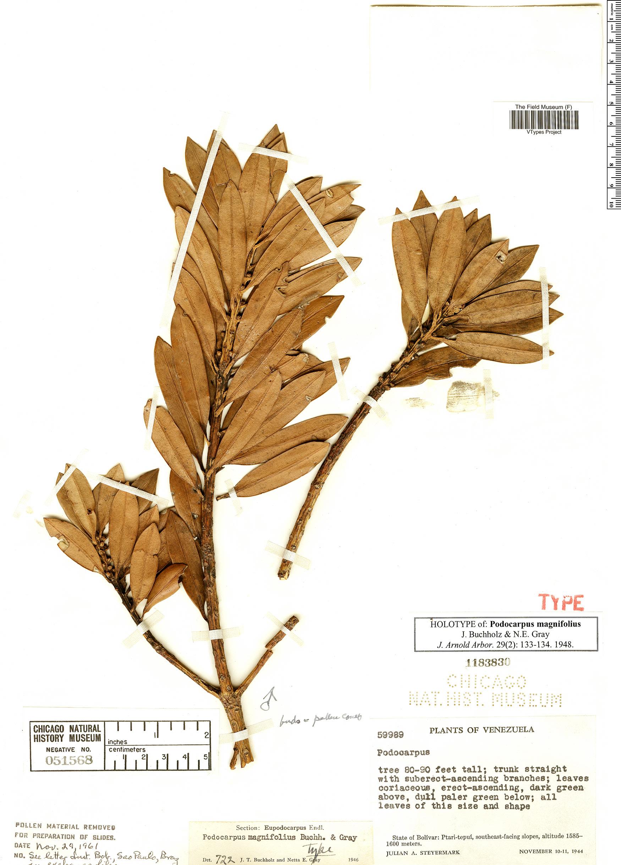 Specimen: Podocarpus magnifolius