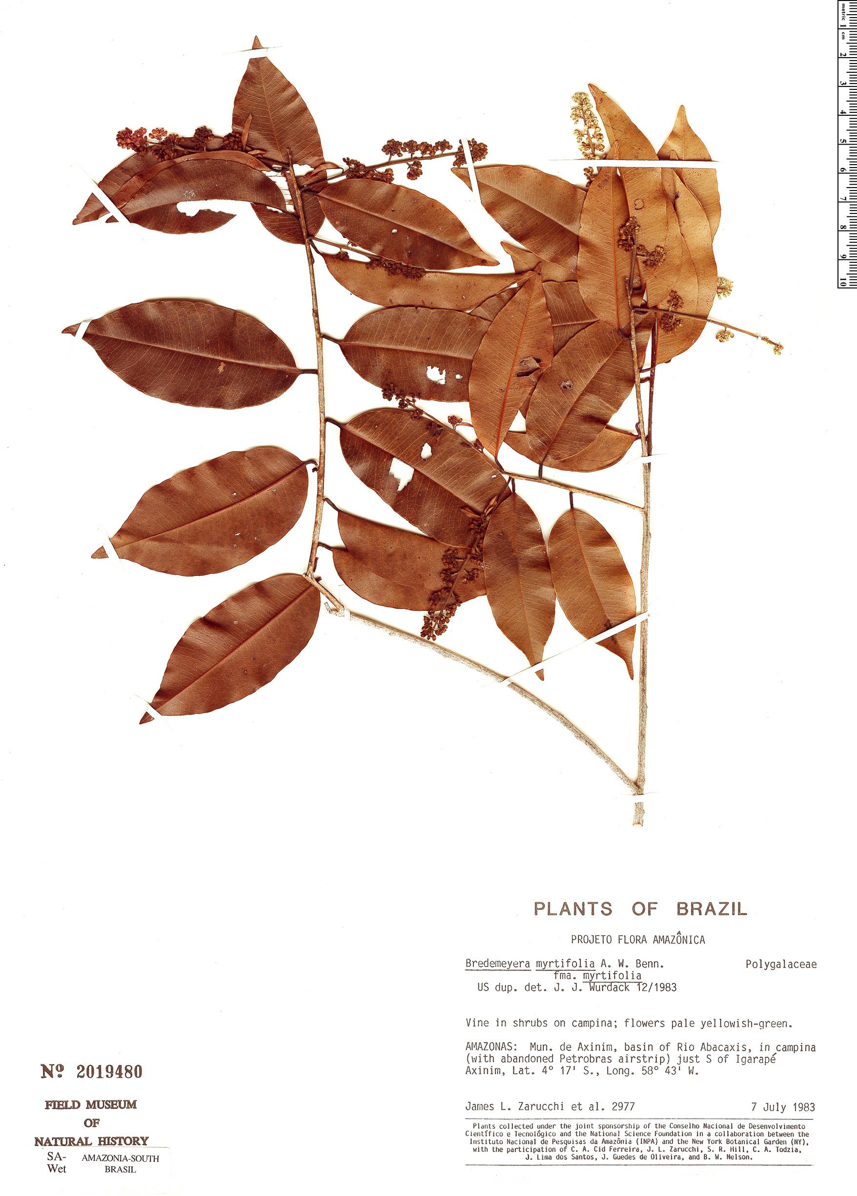 Specimen: Bredemeyera myrtifolia