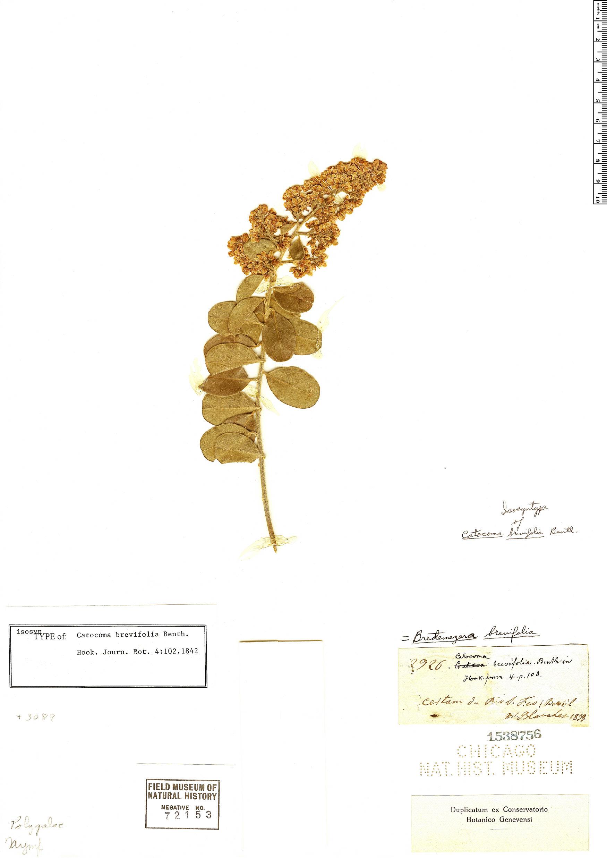 Specimen: Bredemeyera brevifolia