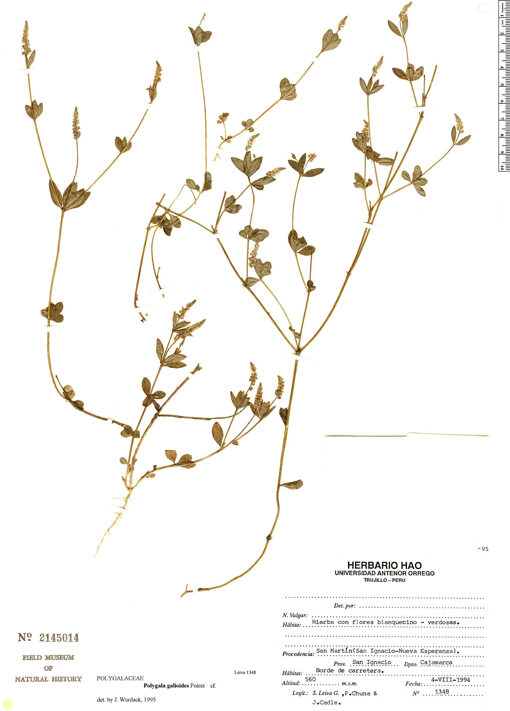 Specimen: Polygala galioides