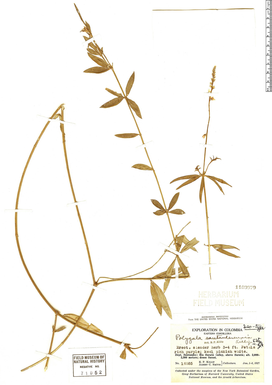 Specimen: Polygala santanderensis