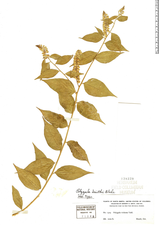 Specimen: Asemeia acuminata