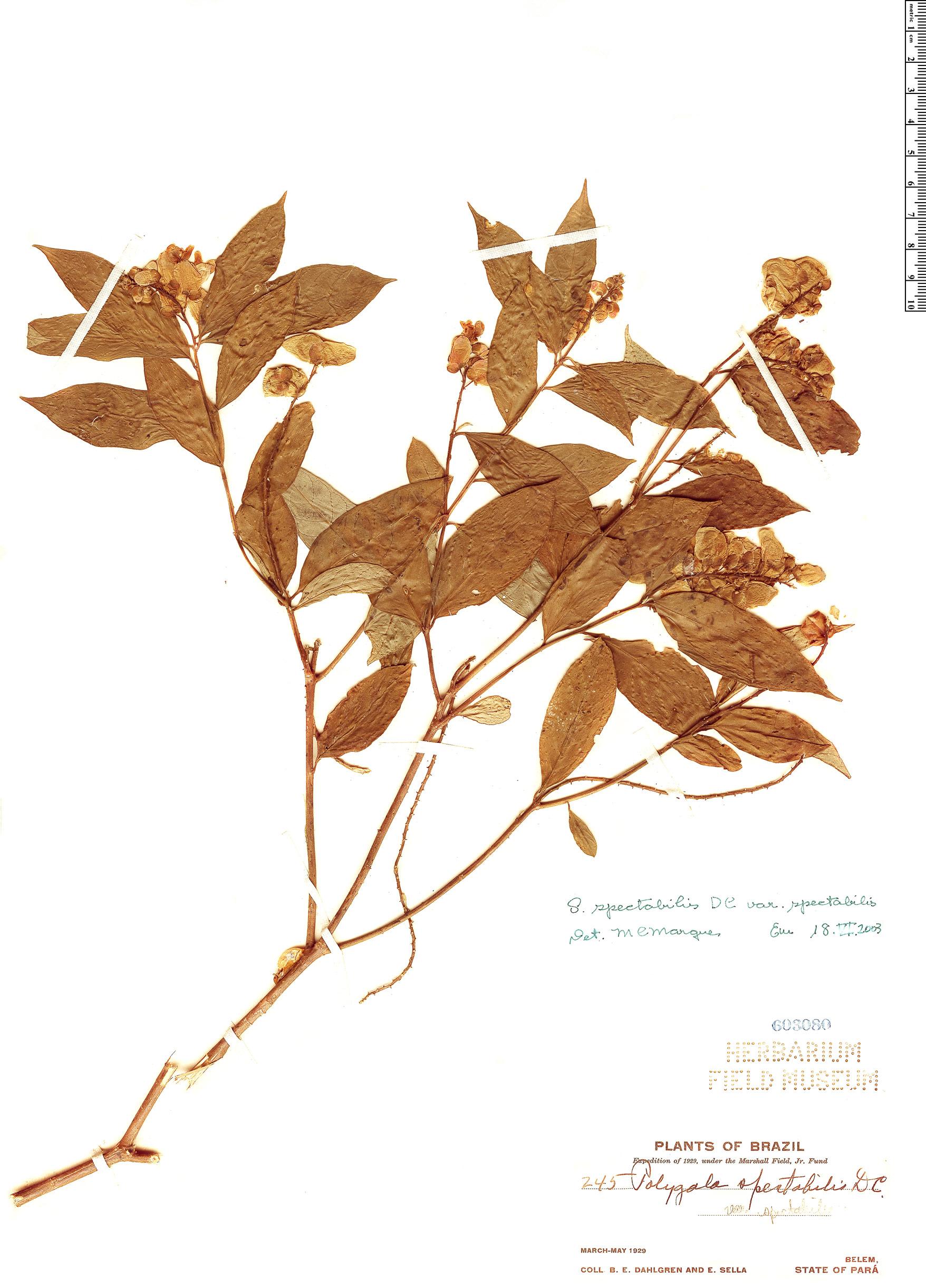 Specimen: Caamembeca spectabilis