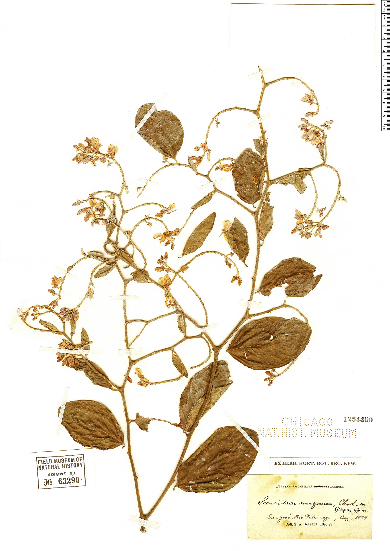 Specimen: Securidaca rivinifolia