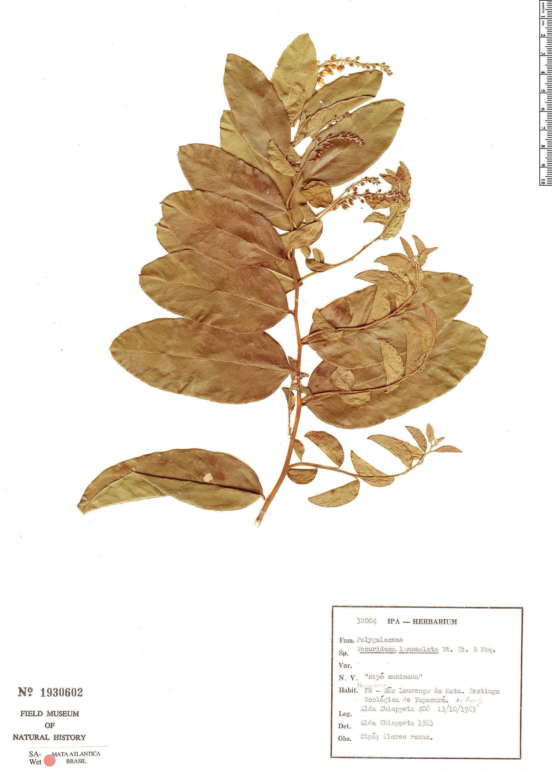 Specimen: Securidaca lanceolata