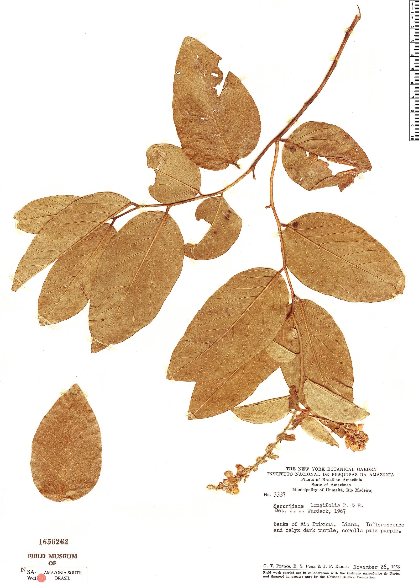 Specimen: Securidaca longifolia