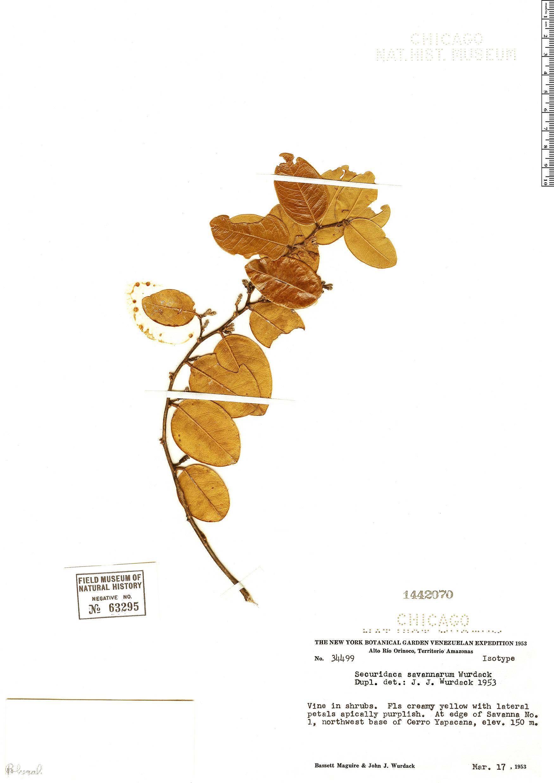 Specimen: Securidaca savannarum