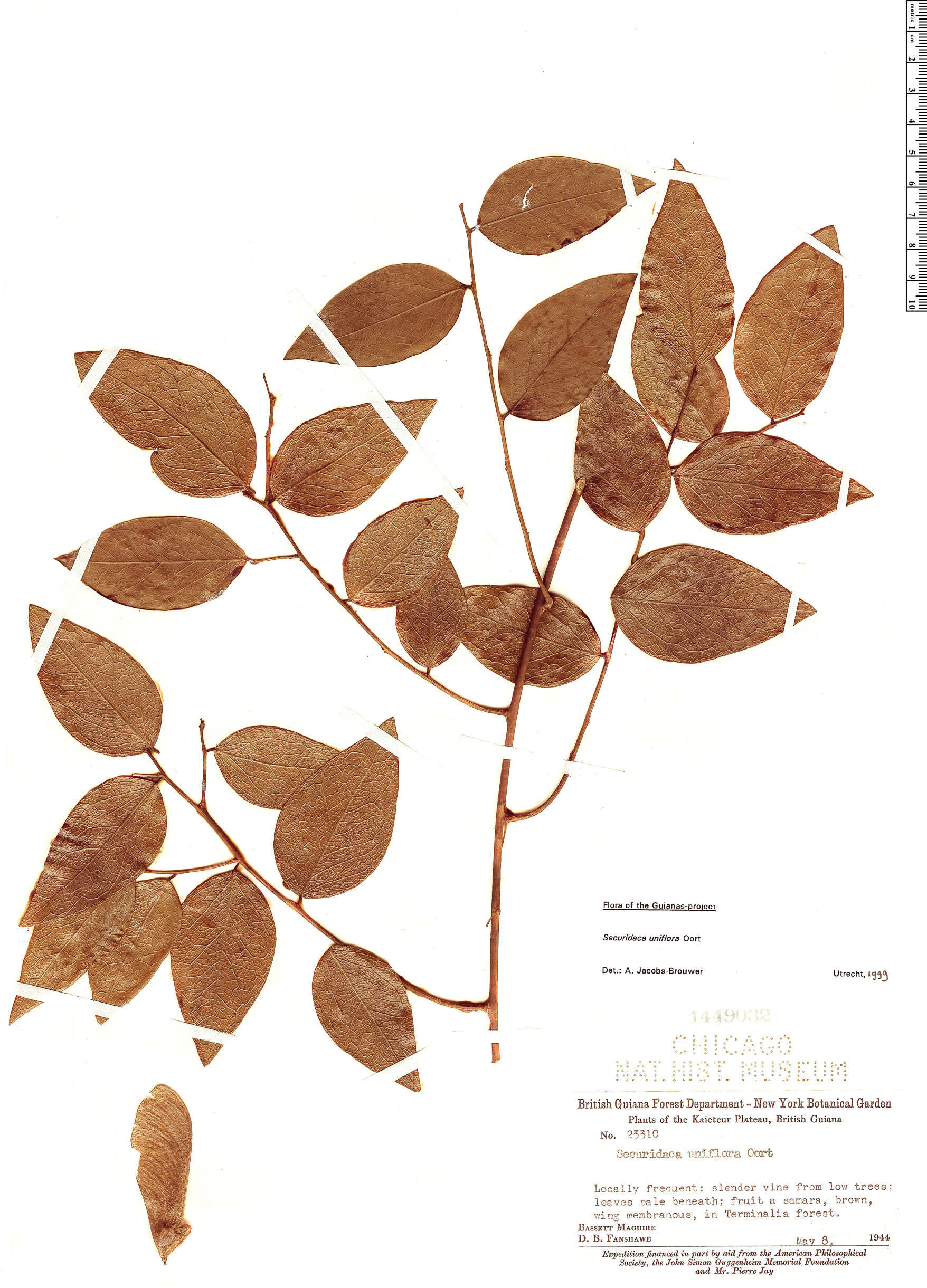 Specimen: Securidaca uniflora
