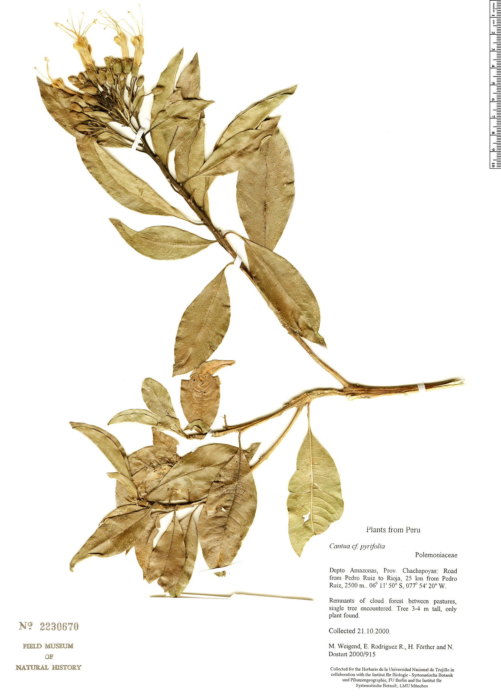 Specimen: Cantua pyrifolia