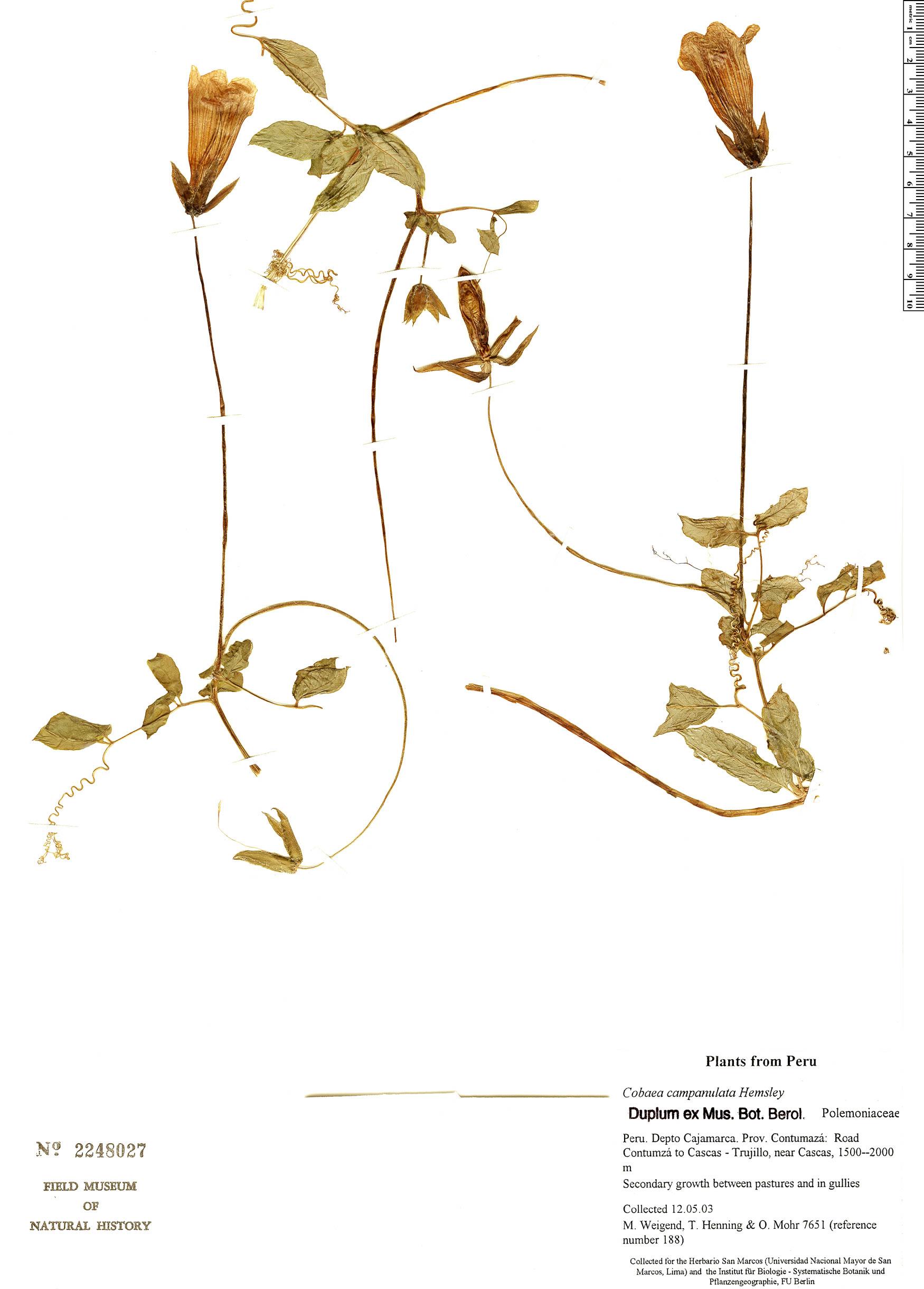 Cobaea campanulata image