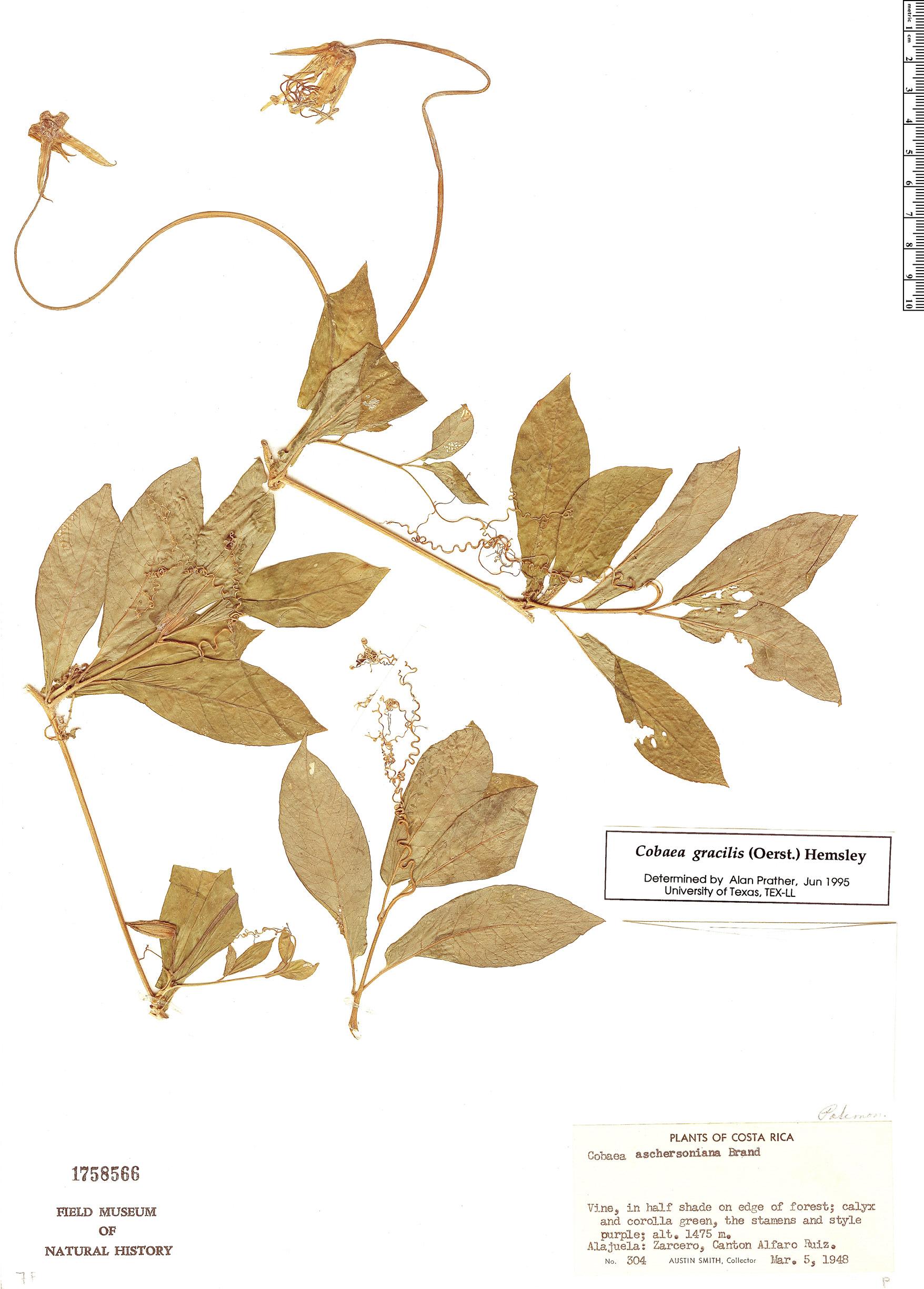 Specimen: Cobaea gracilis