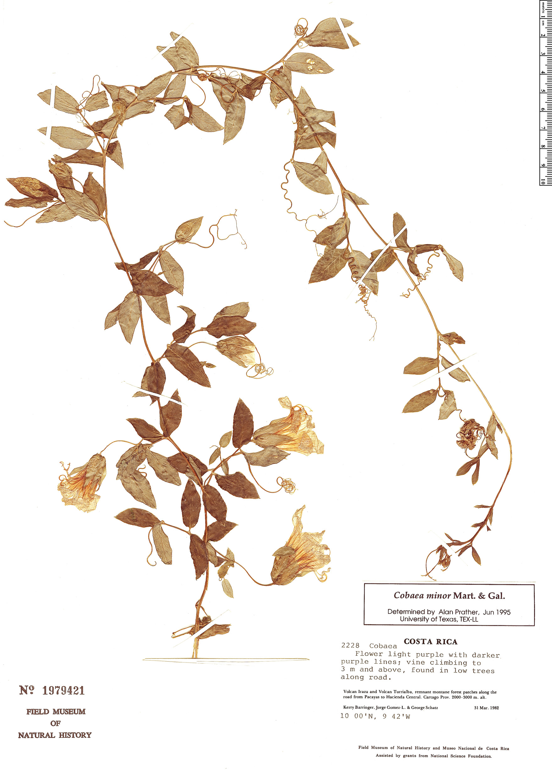 Specimen: Cobaea minor