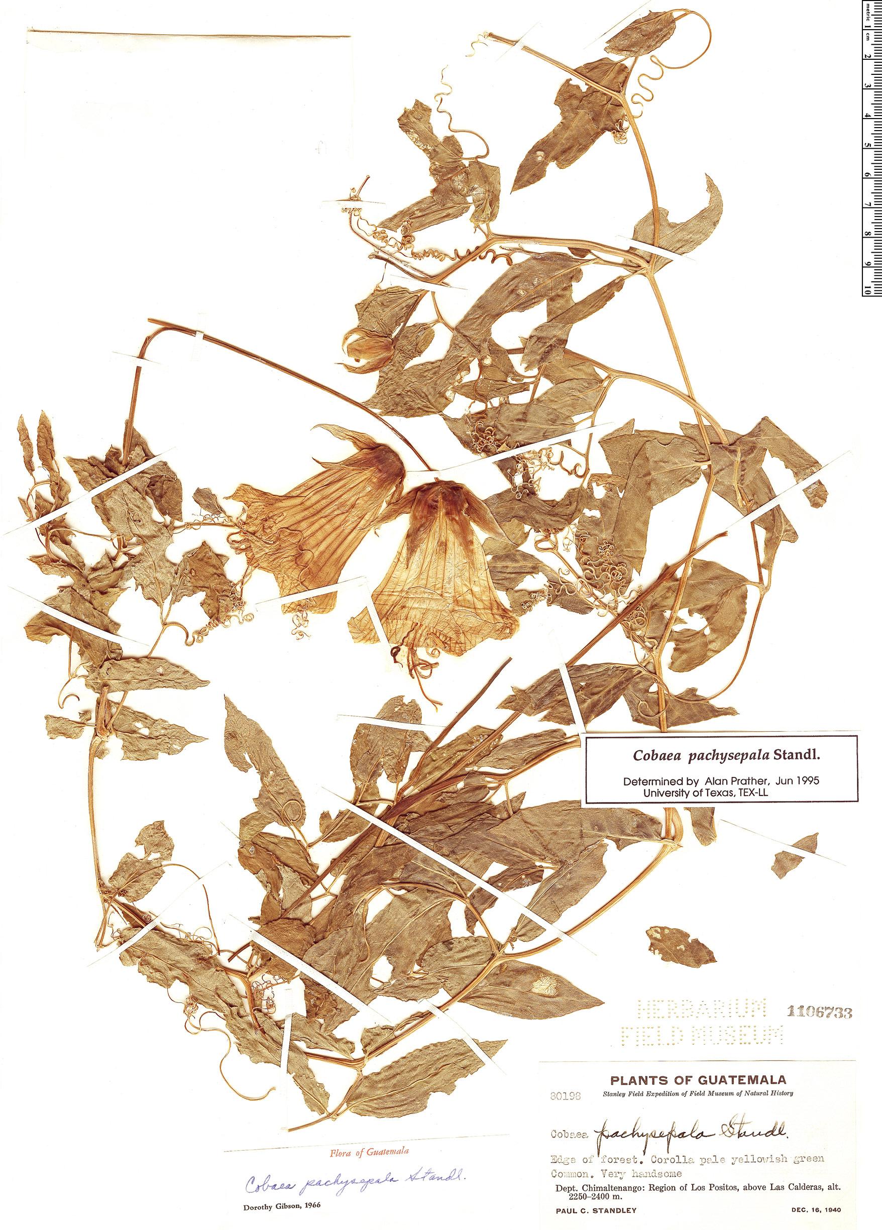 Specimen: Cobaea pachysepala