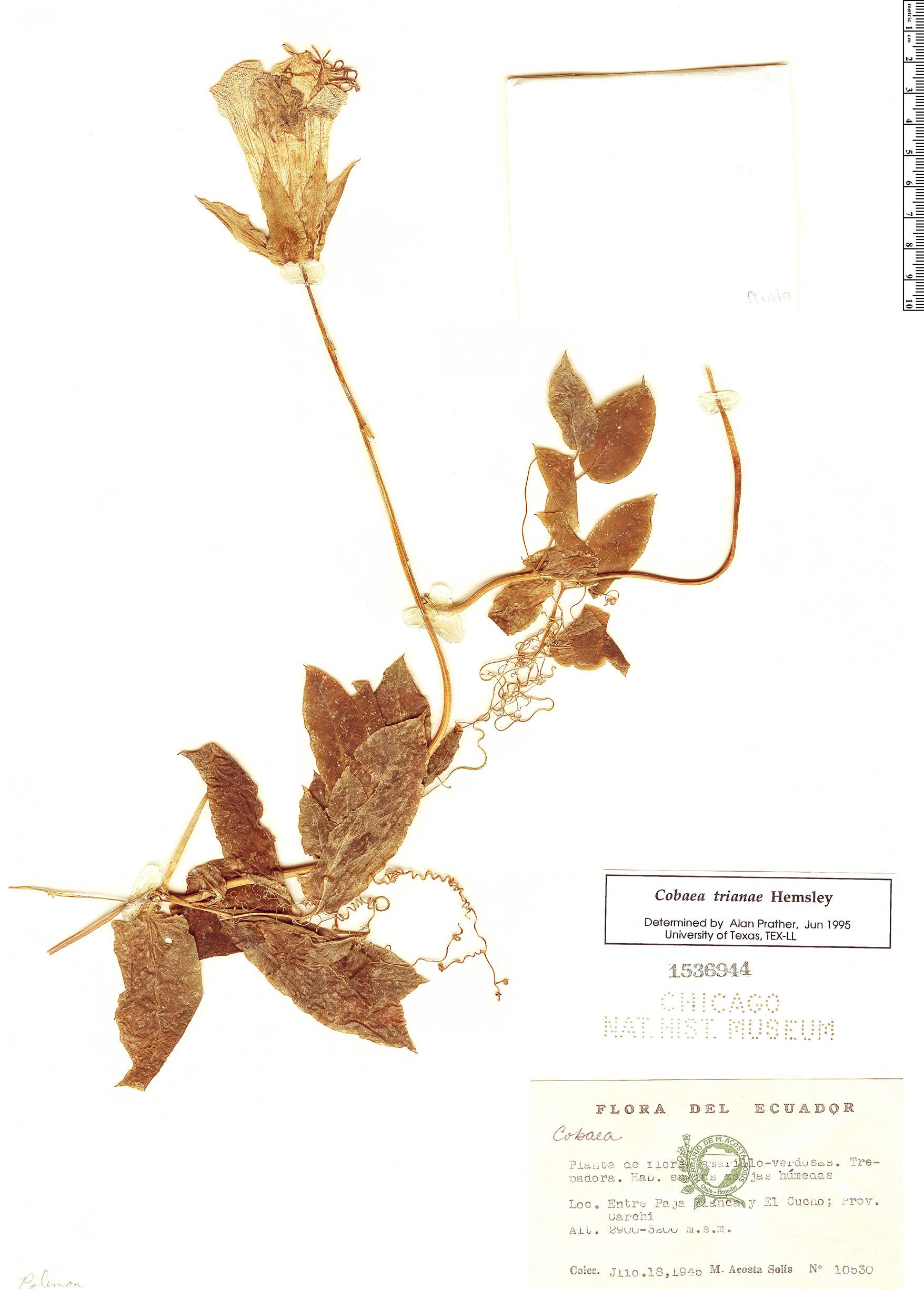 Specimen: Cobaea trianae