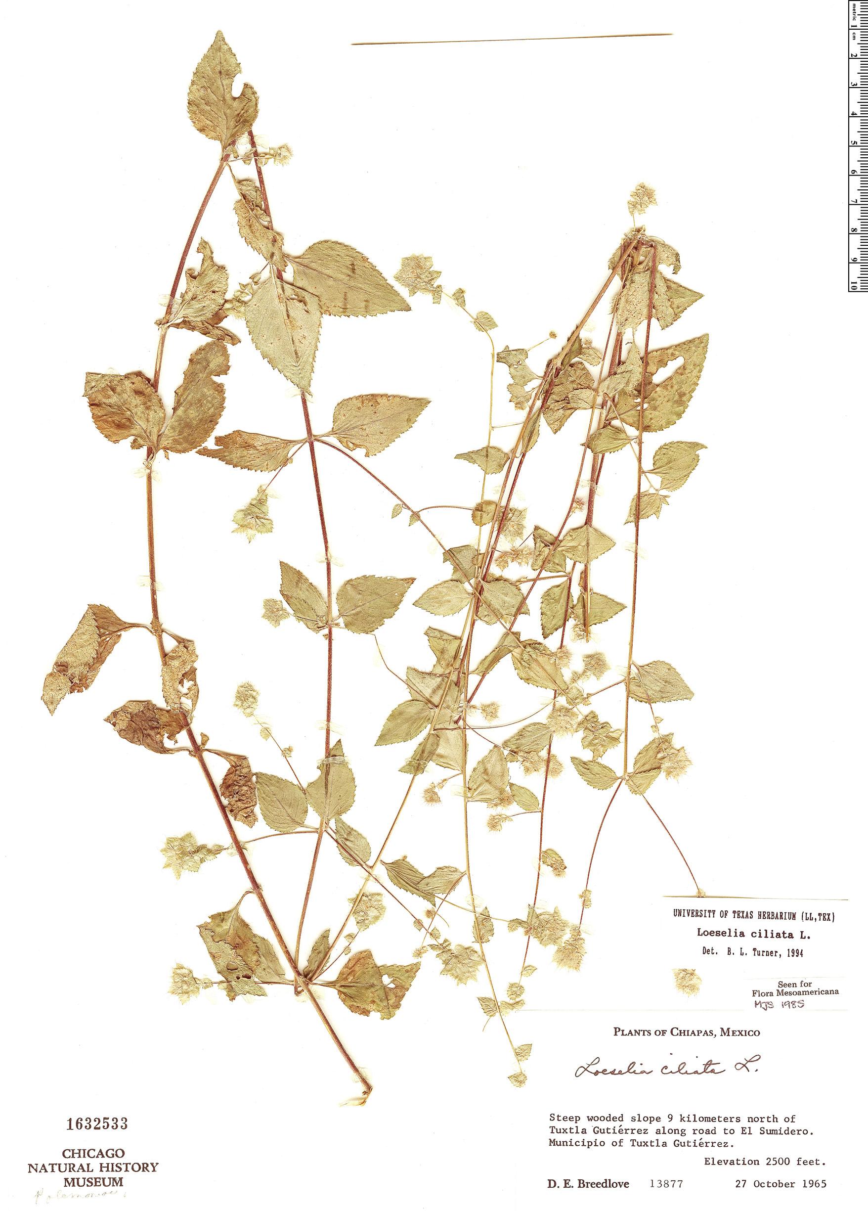 Specimen: Loeselia ciliata