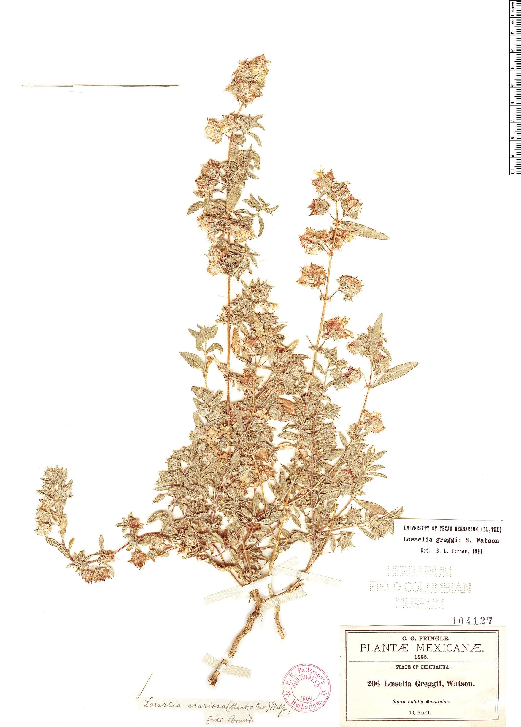 Specimen: Loeselia greggii