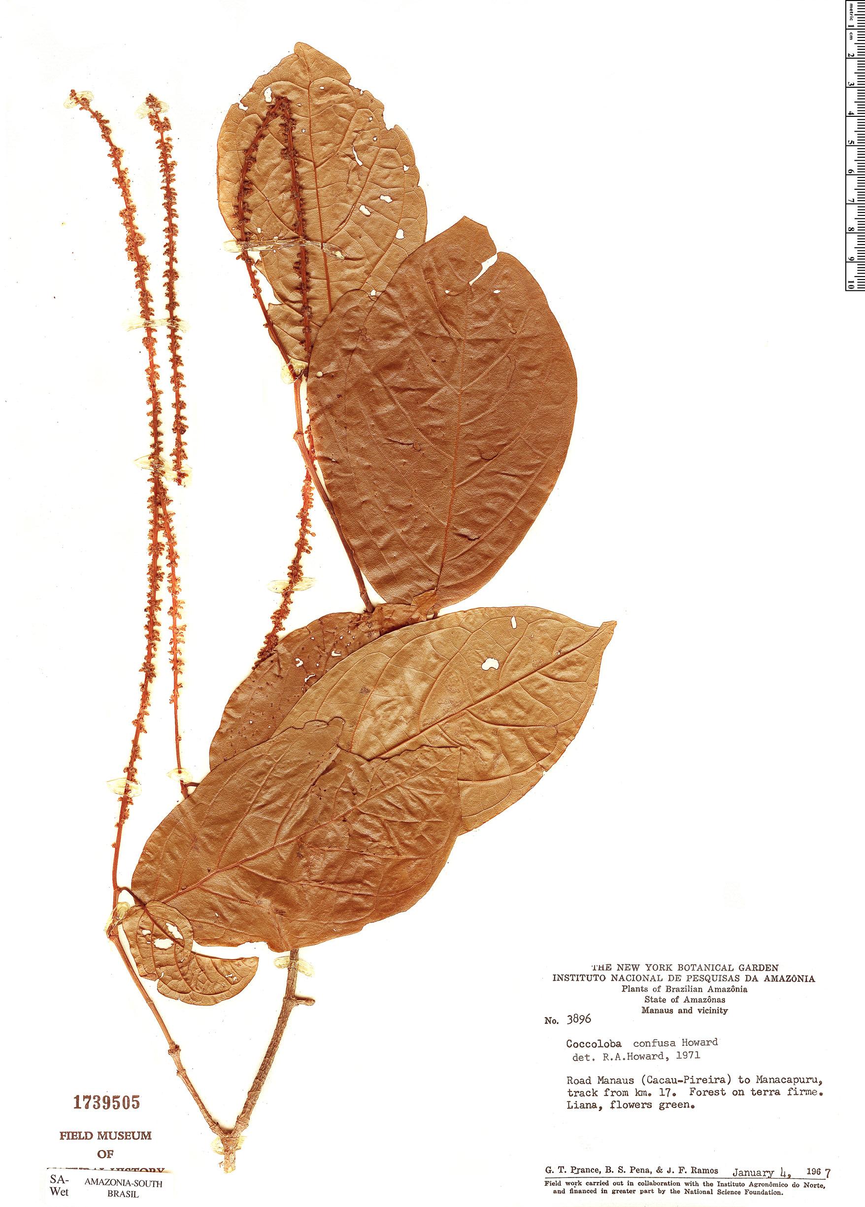 Espécimen: Coccoloba confusa