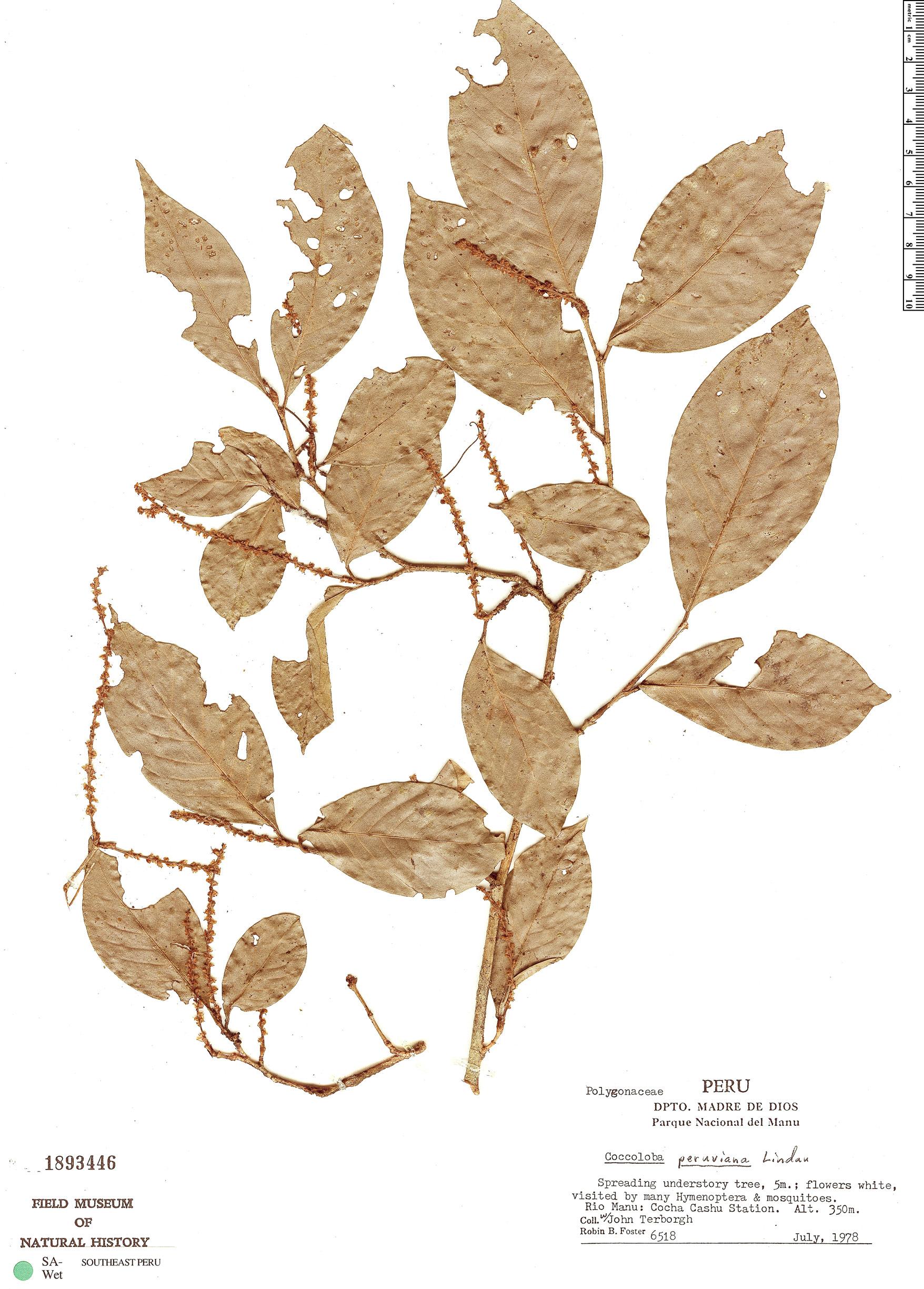 Specimen: Coccoloba peruviana