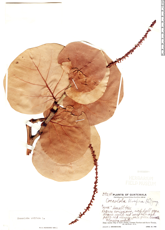 Specimen: Coccoloba uvifera