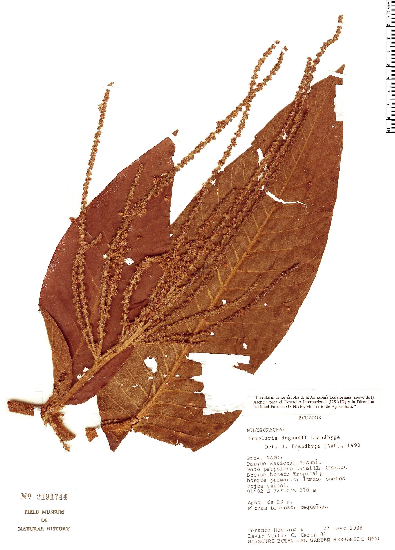 Specimen: Triplaris dugandii