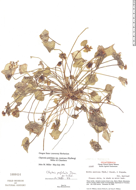 Specimen: Claytonia perfoliata