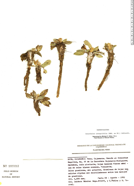 Specimen: Oreithales integrifolia
