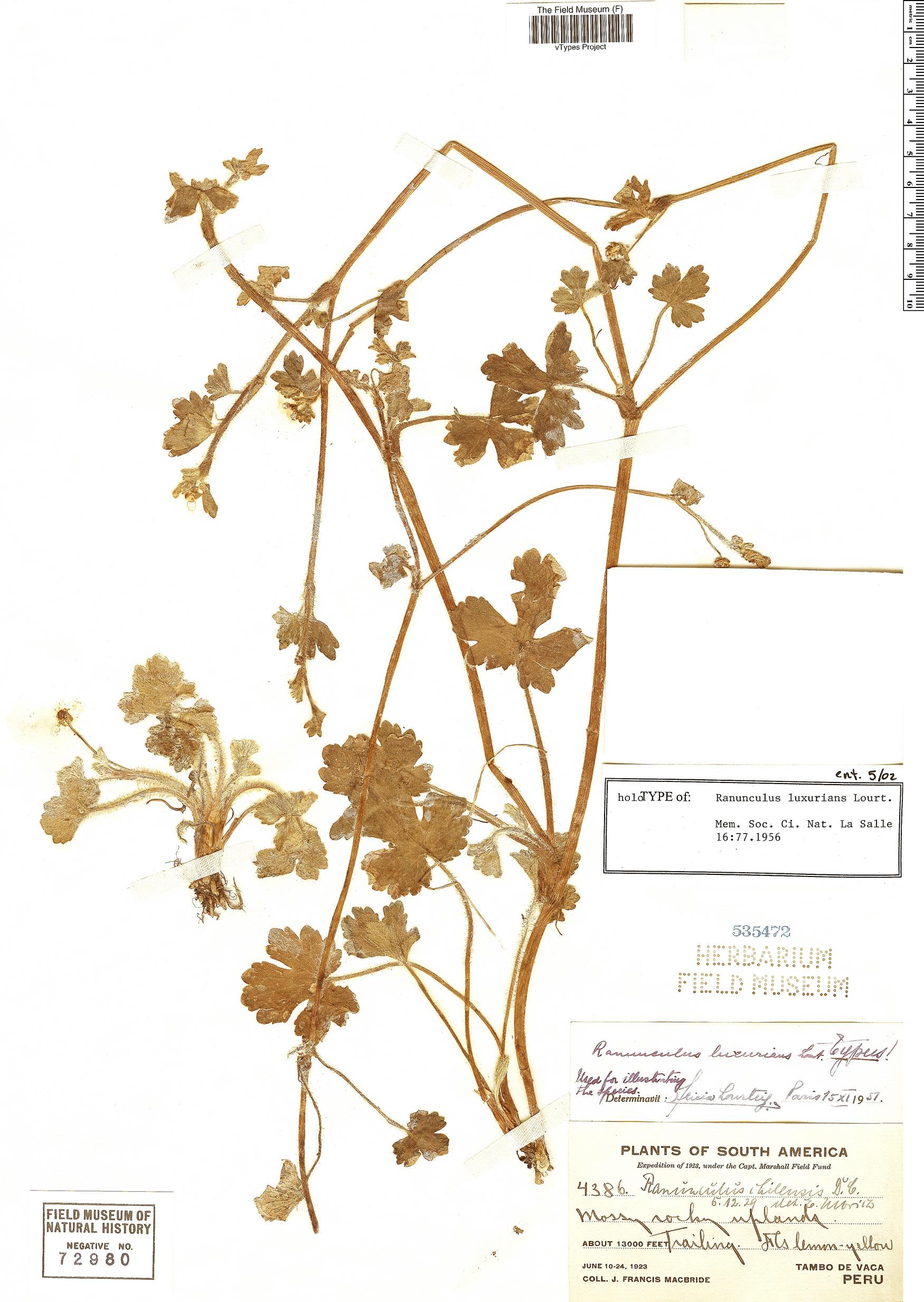 Specimen: Ranunculus luxurians