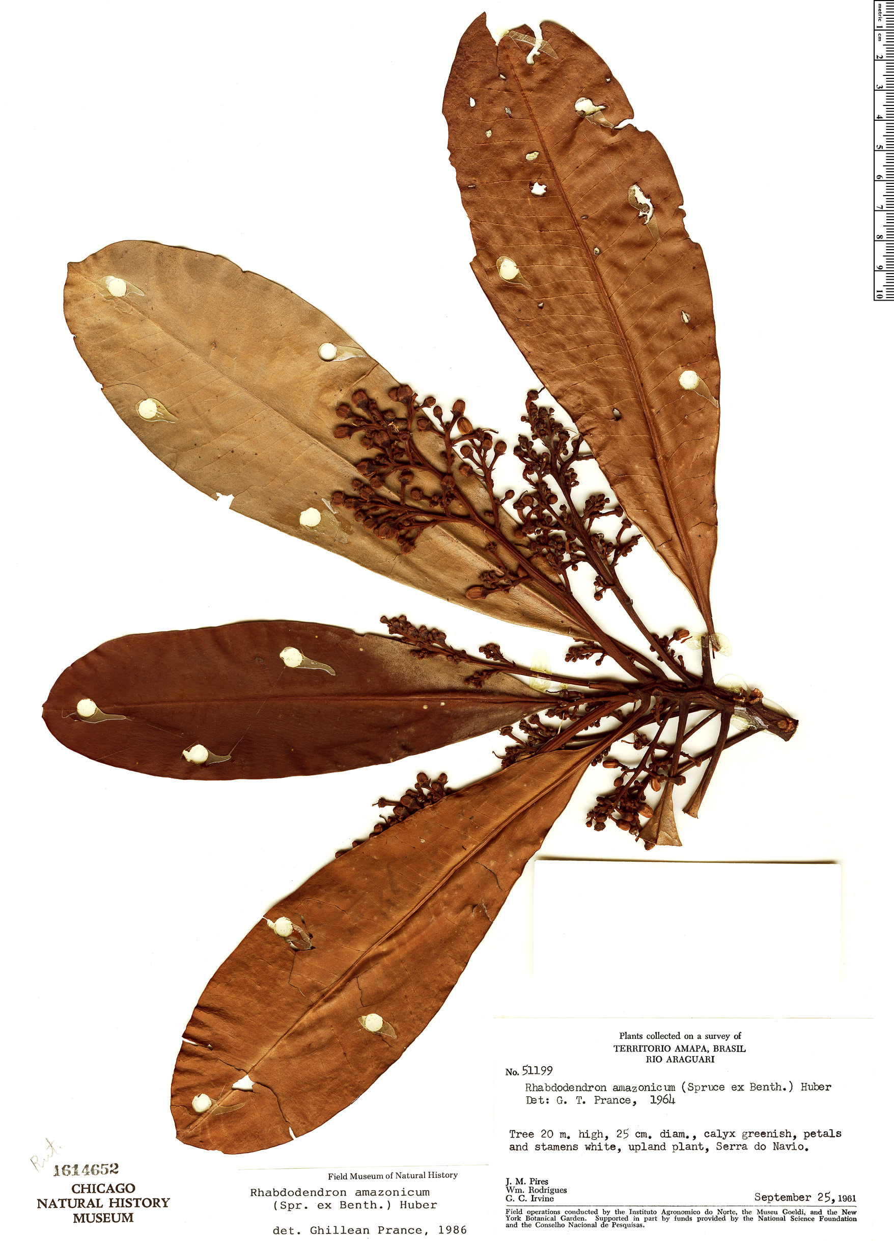 Specimen: Rhabdodendron amazonicum