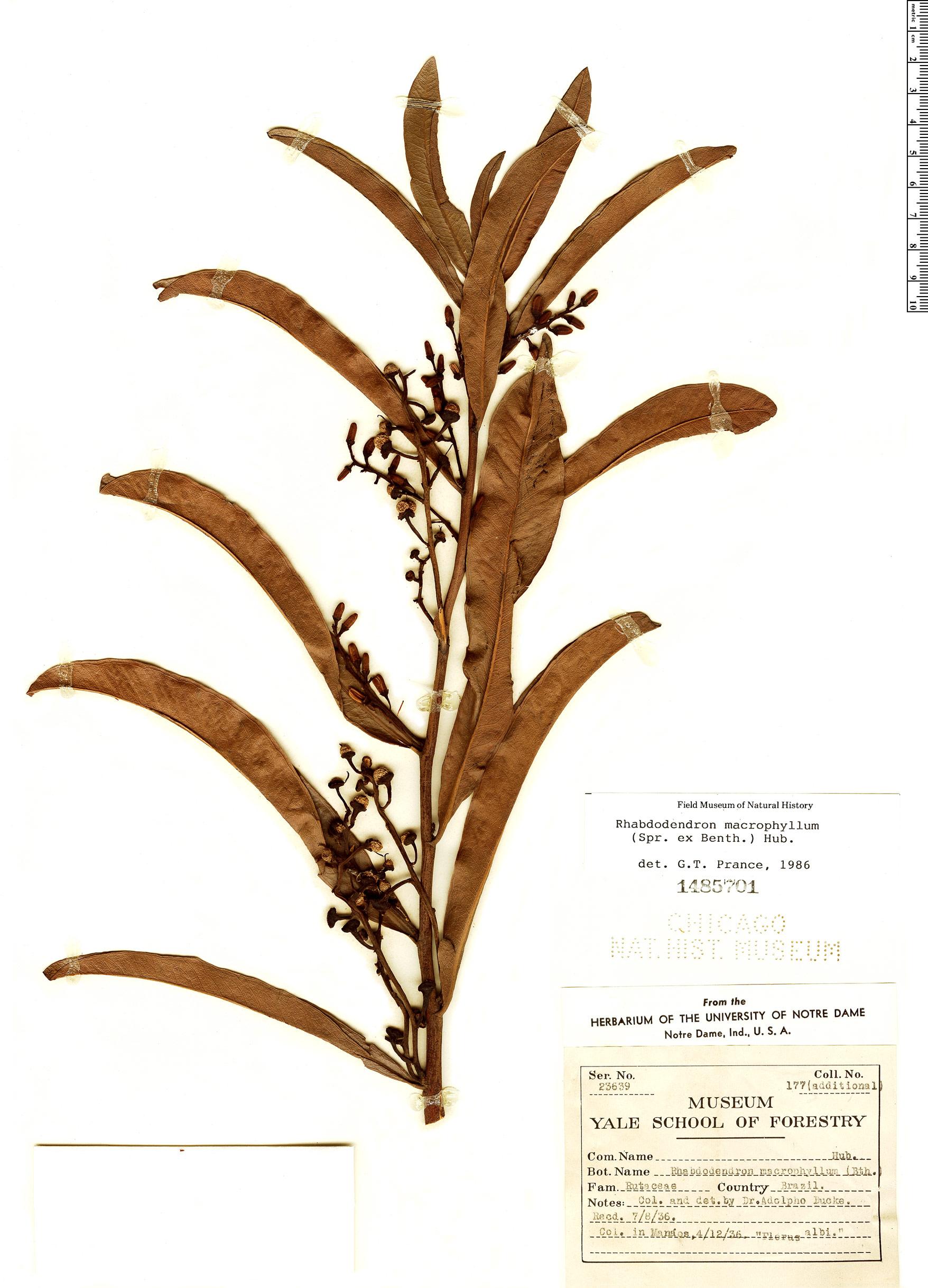 Espécime: Rhabdodendron macrophyllum
