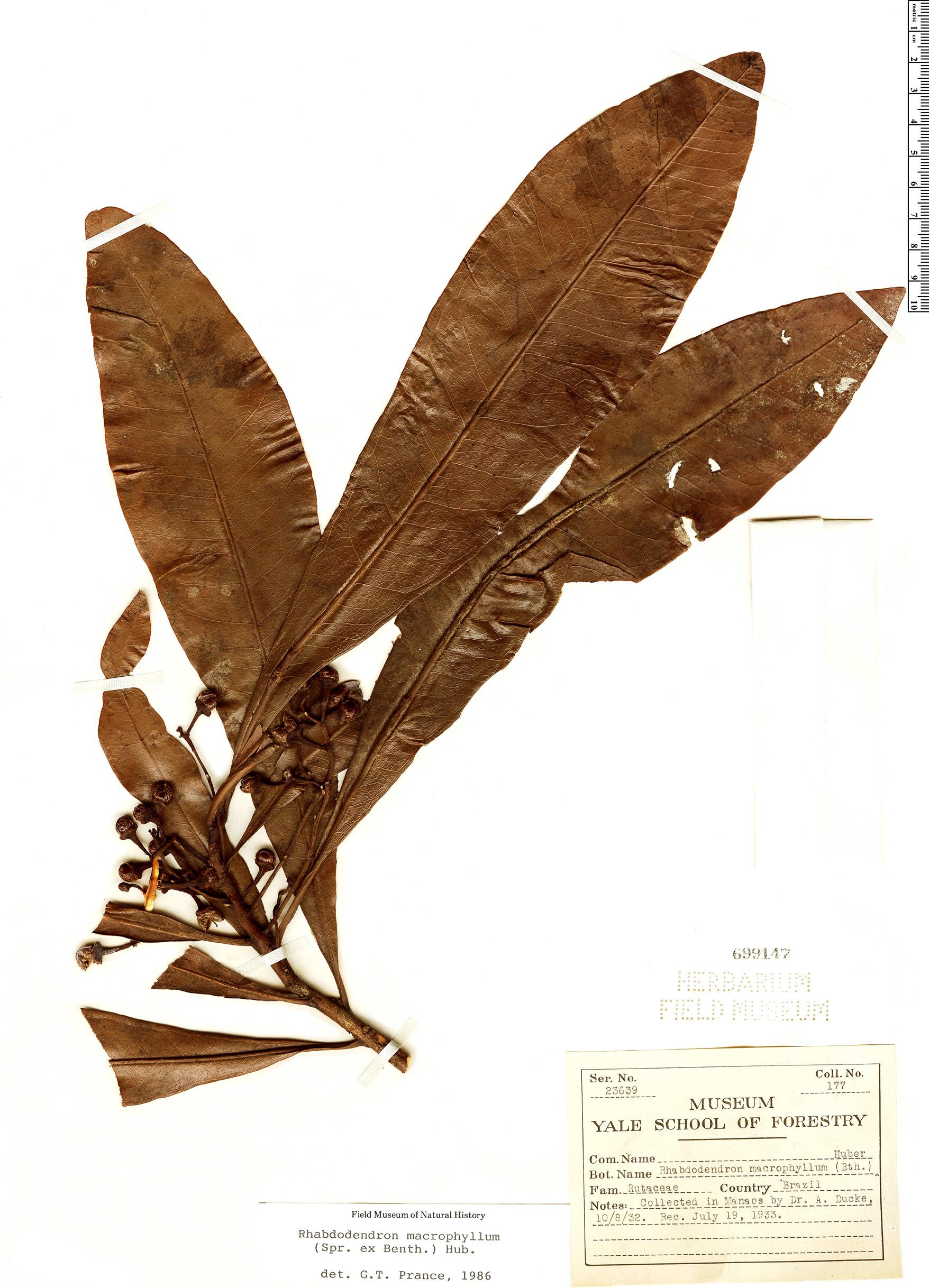 Specimen: Rhabdodendron macrophyllum