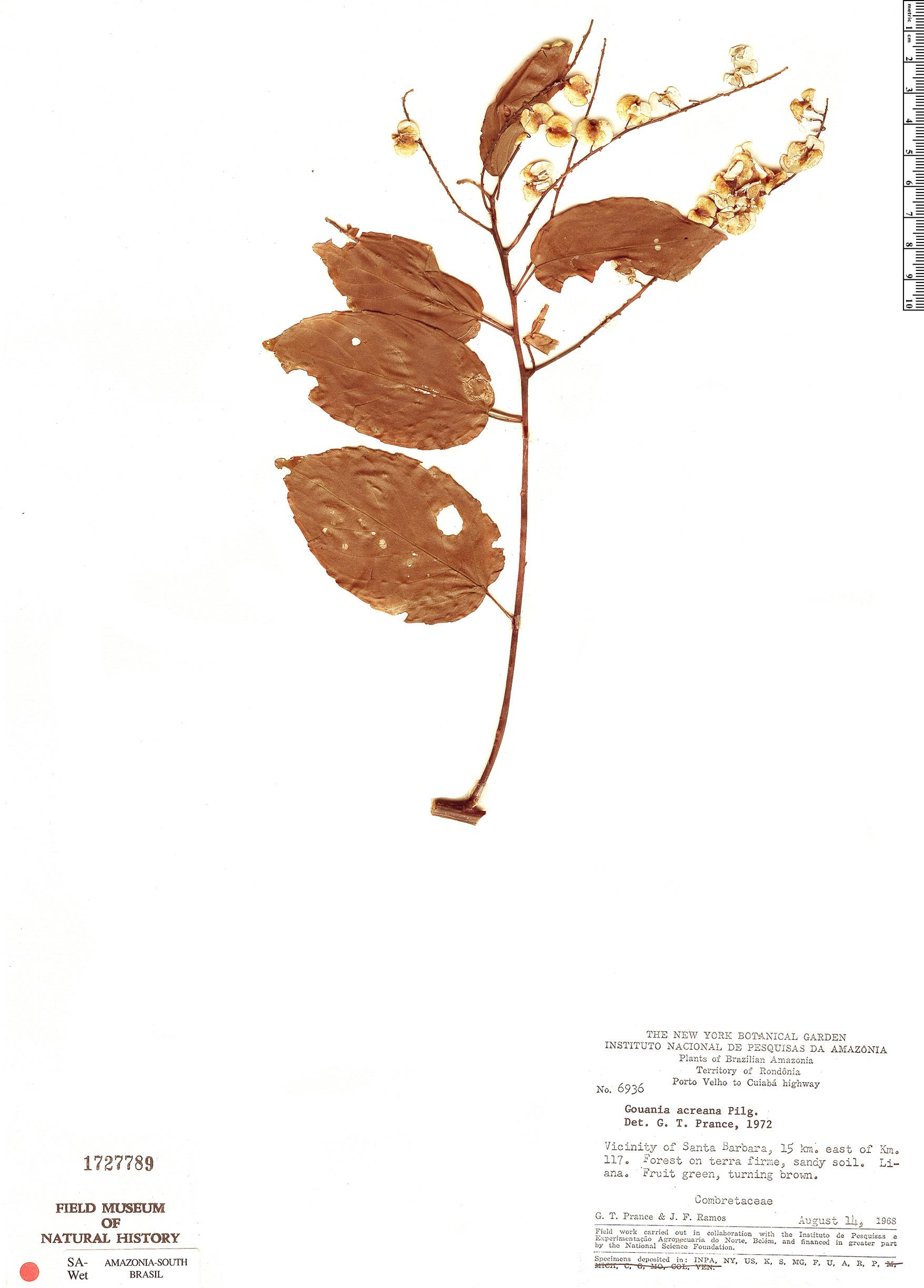 Espécimen: Gouania acreana