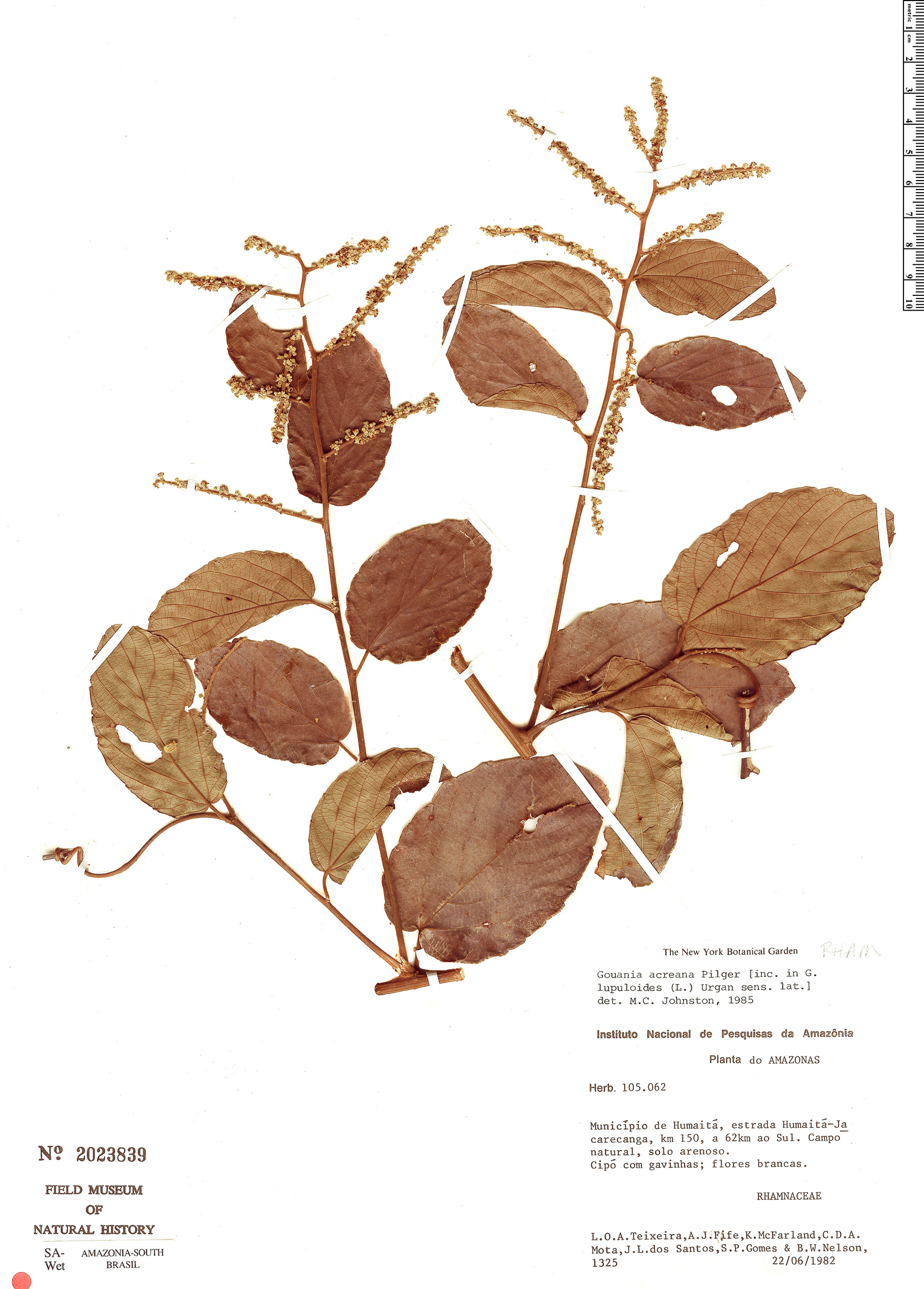 Specimen: Gouania acreana