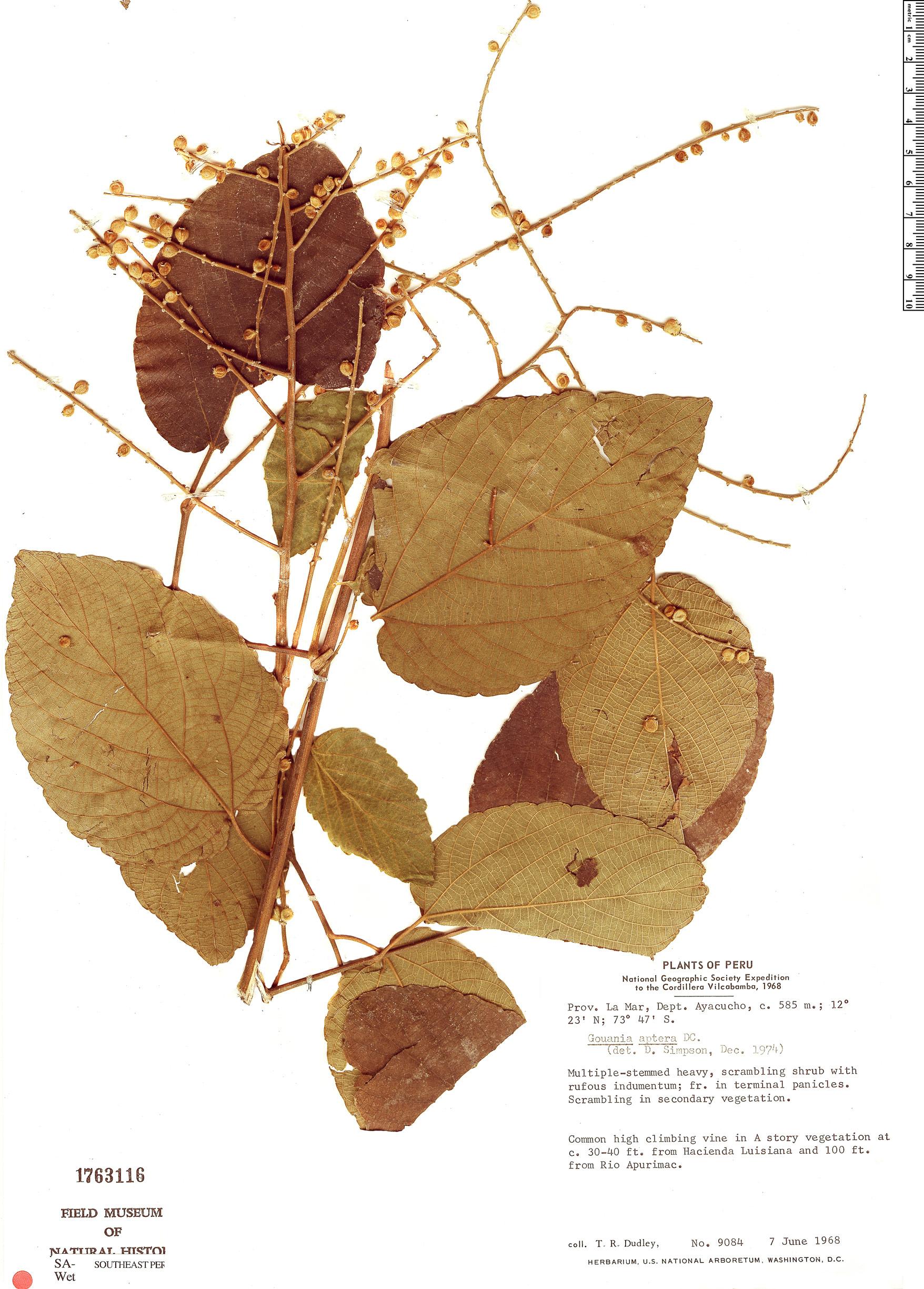 Specimen: Gouania aptera