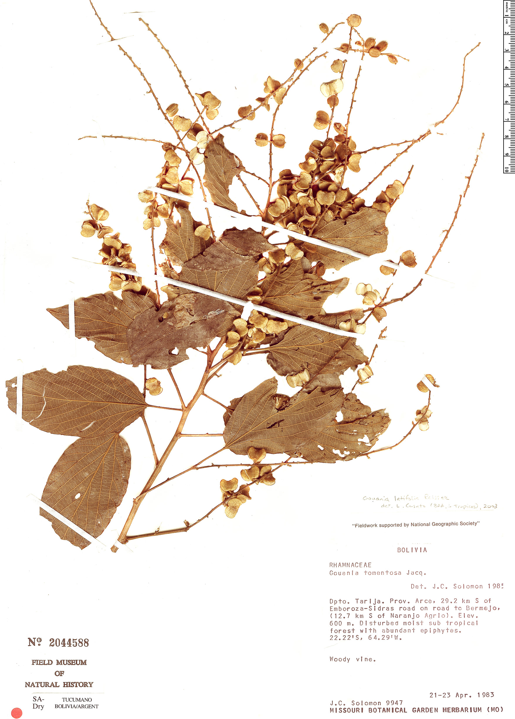 Specimen: Gouania latifolia