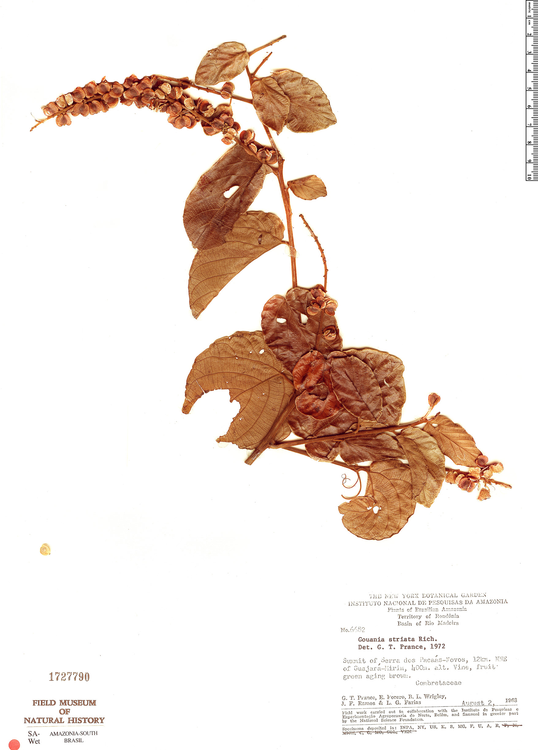 Specimen: Gouania striata