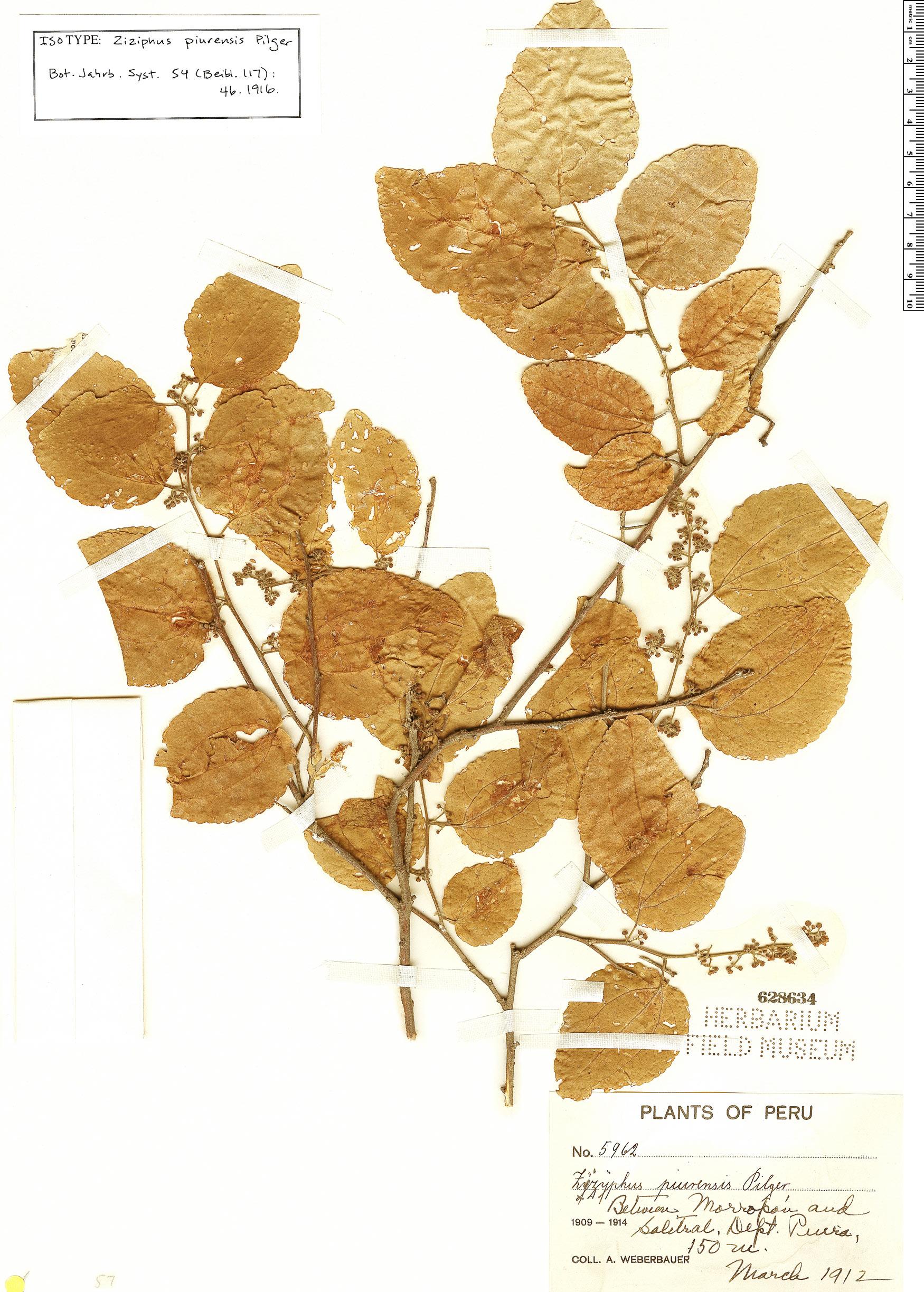 Specimen: Ziziphus piurensis